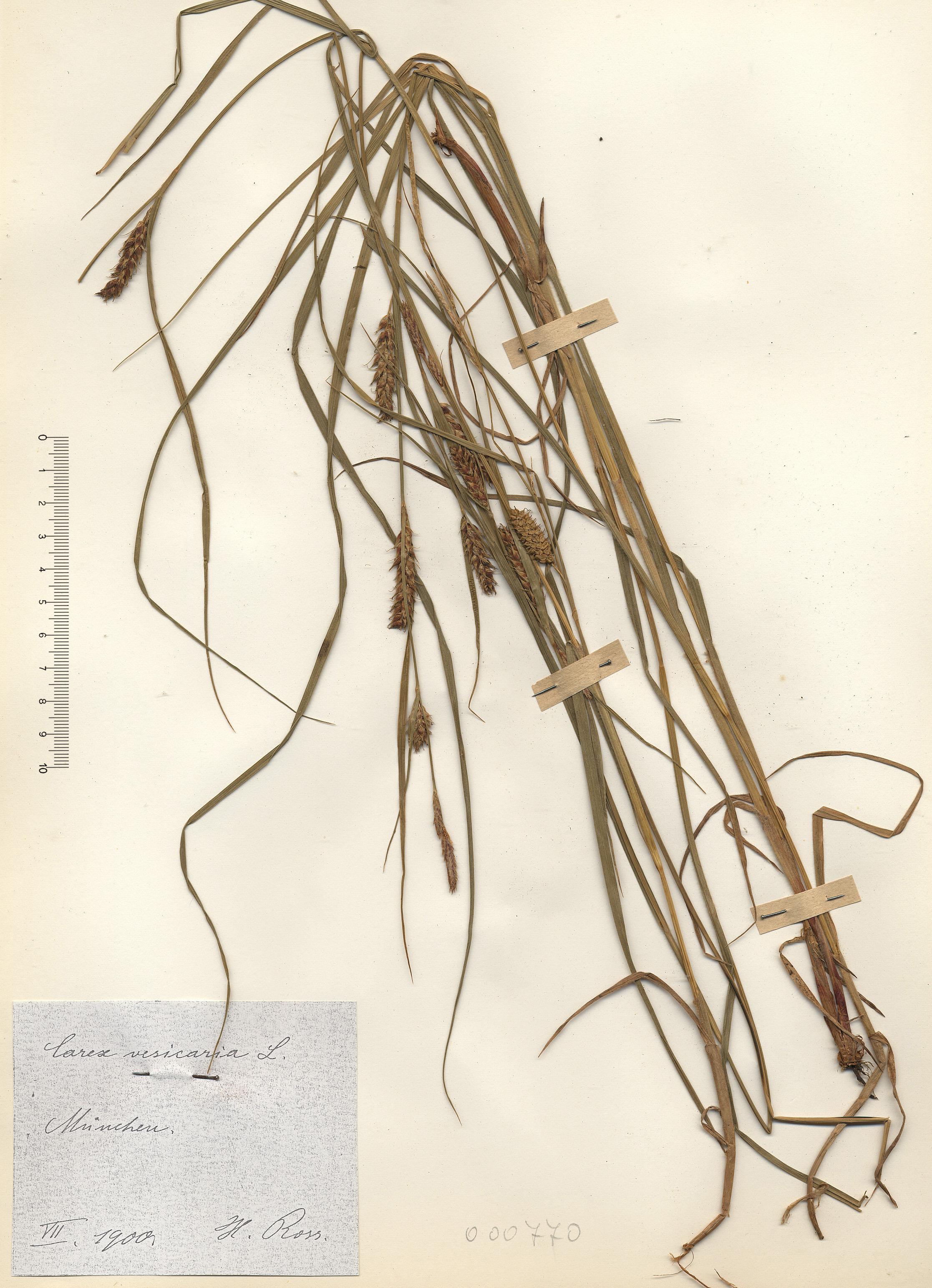 © Hortus Botanicus Catinensis - Herb. sheet 000770<br>