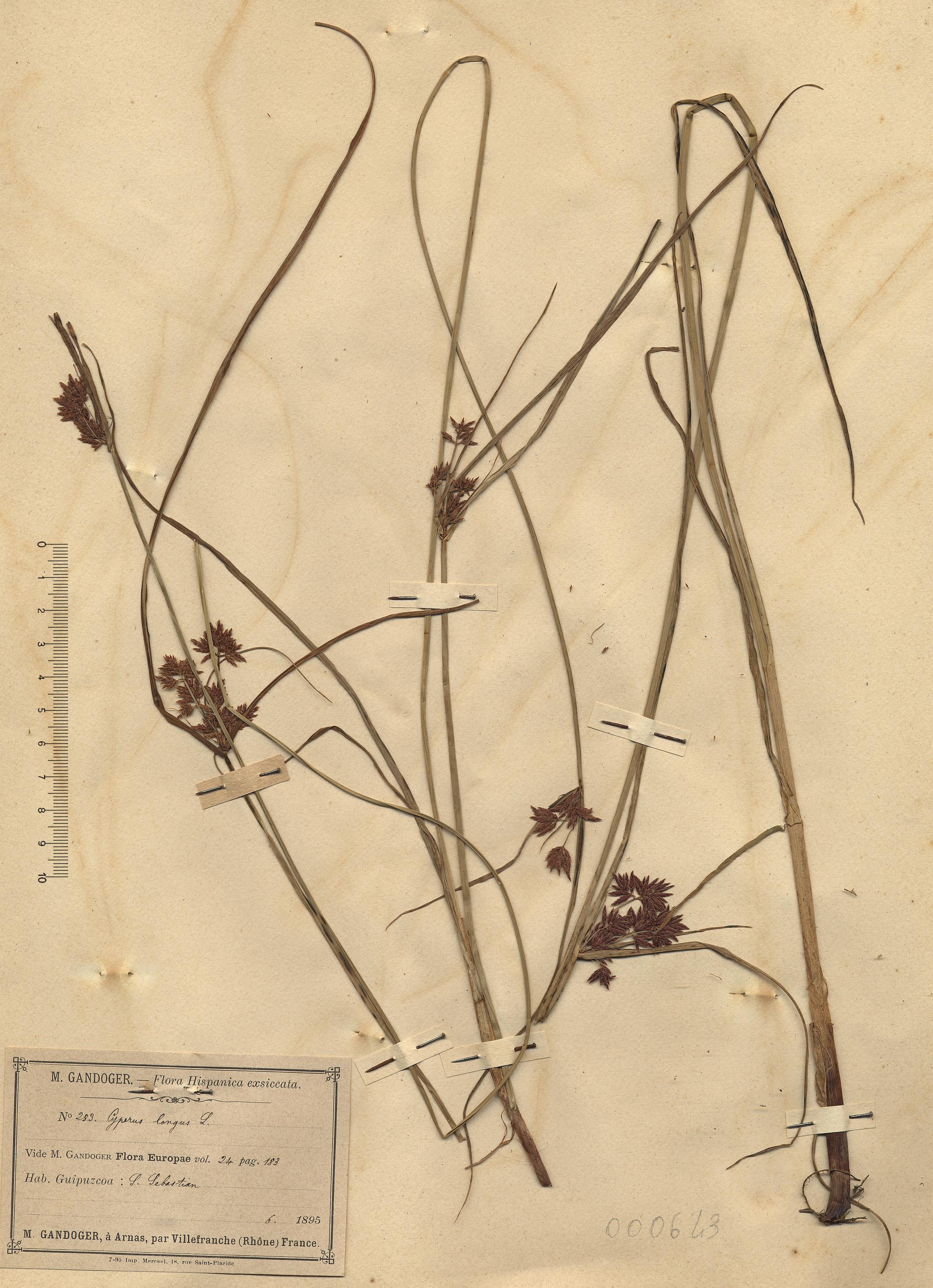 © Hortus Botanicus Catinensis - Herb. sheet 000643<br>
