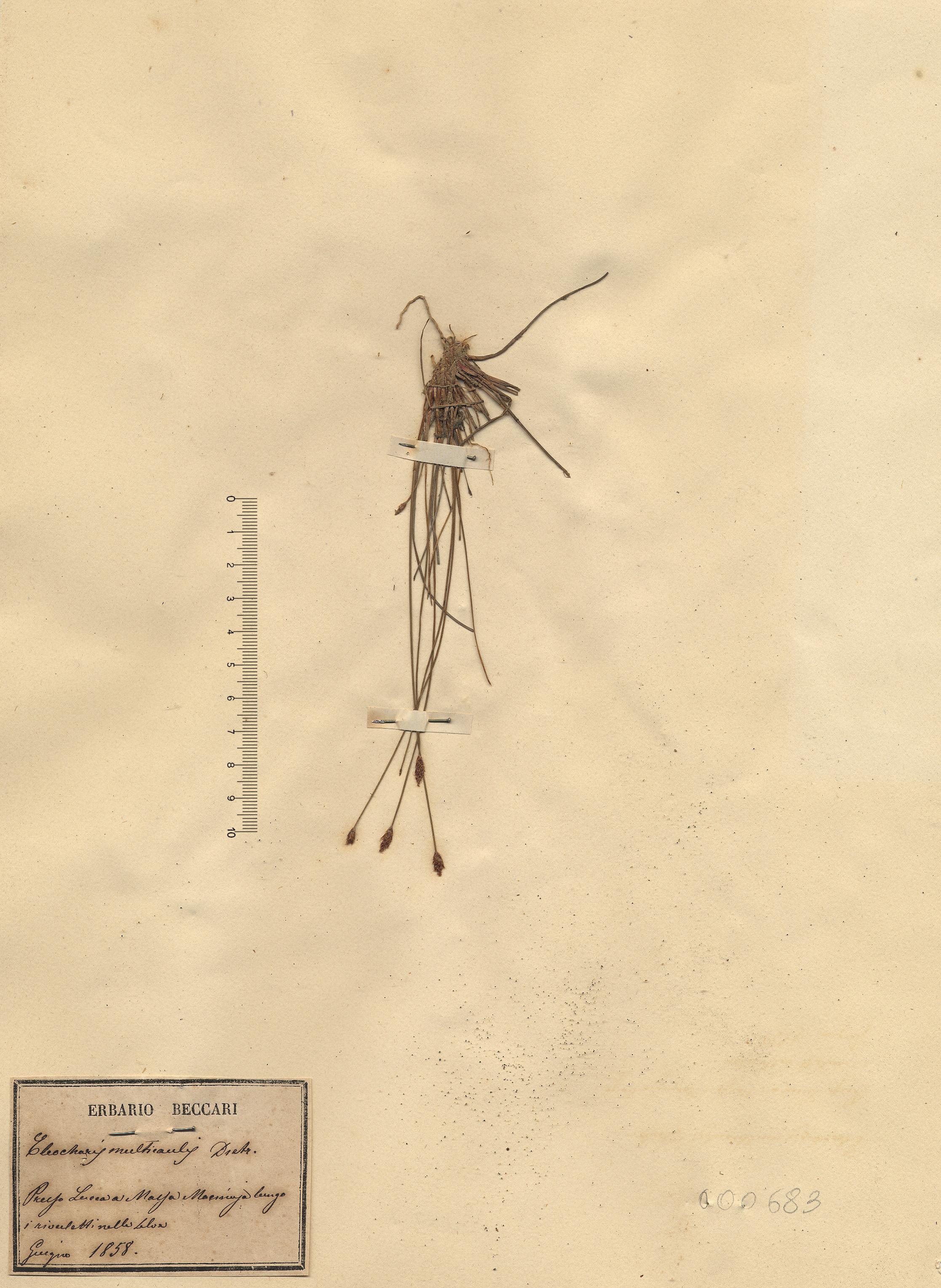 © Hortus Botanicus Catinensis - Herb. sheet 000683<br>