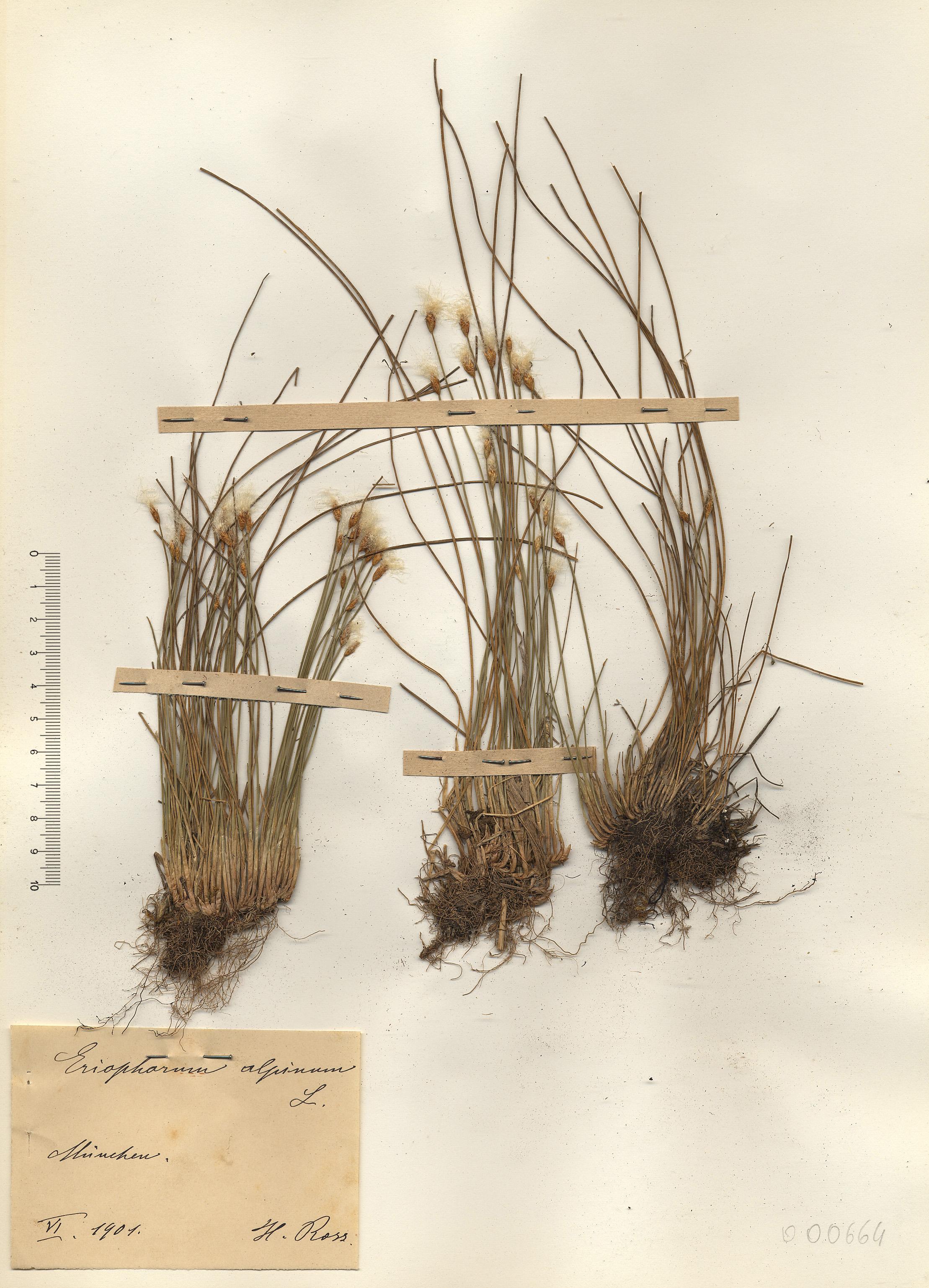 © Hortus Botanicus Catinensis - Herb. sheet 000664<br>
