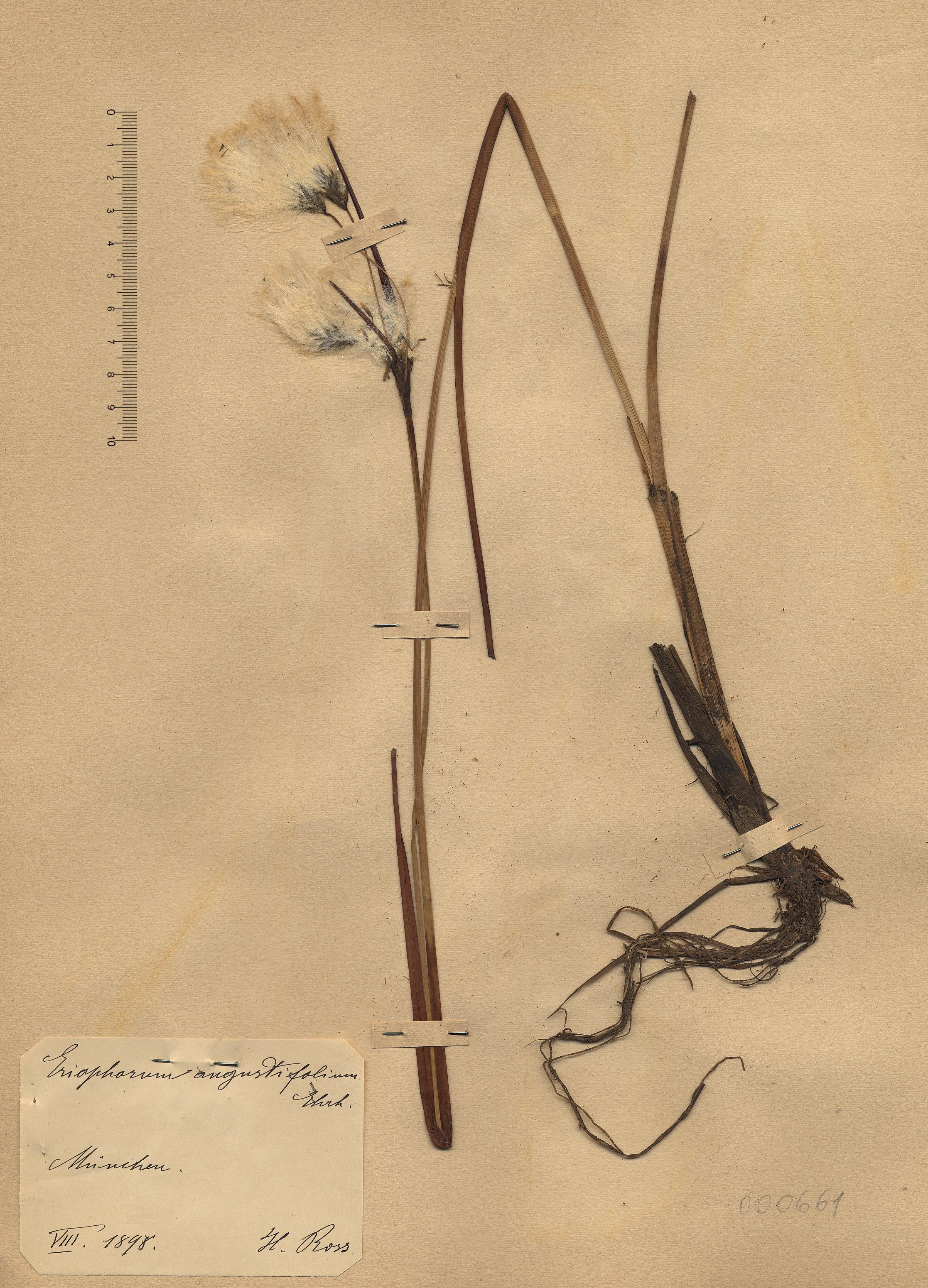 © Hortus Botanicus Catinensis - Herb. sheet 000661<br>