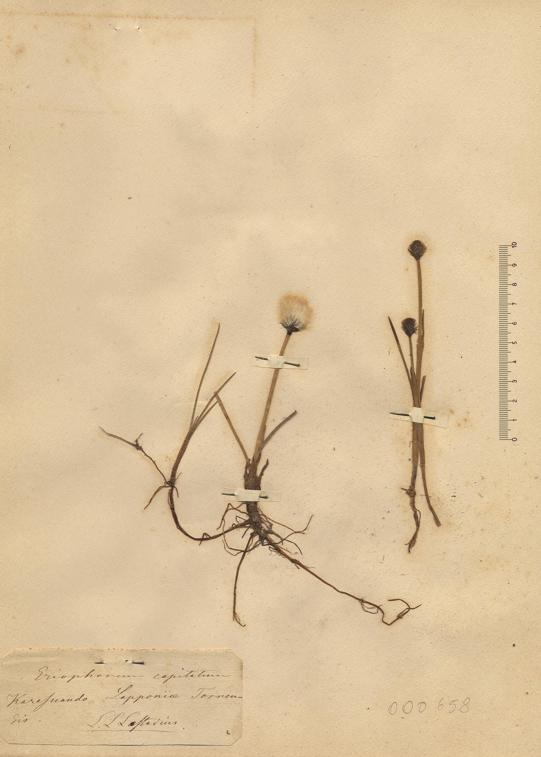 © Hortus Botanicus Catinensis - Herb. sheet 000658<br>