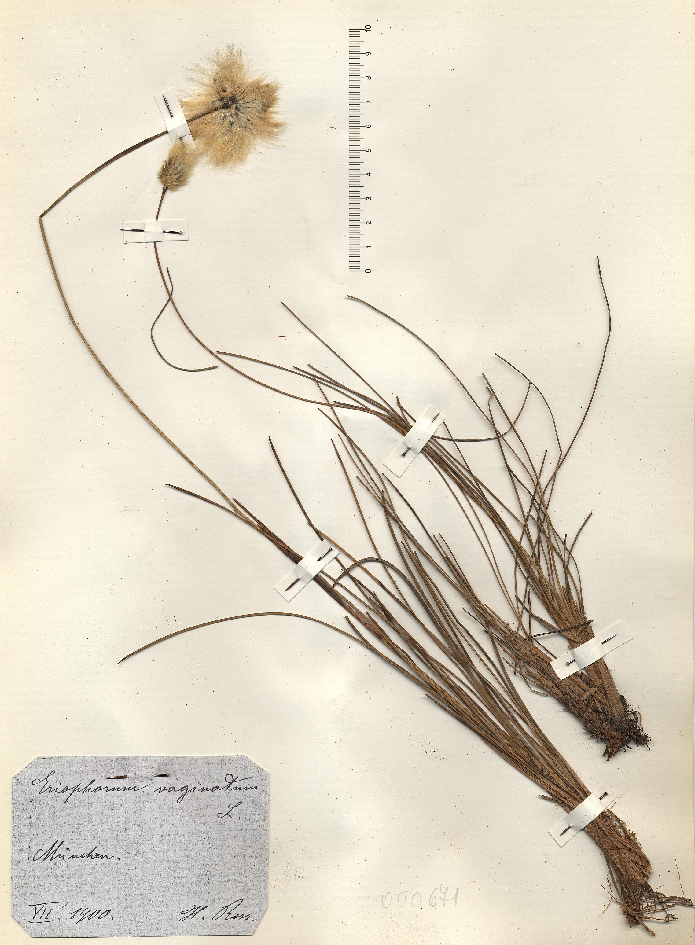 © Hortus Botanicus Catinensis - Herb. sheet 000671<br>