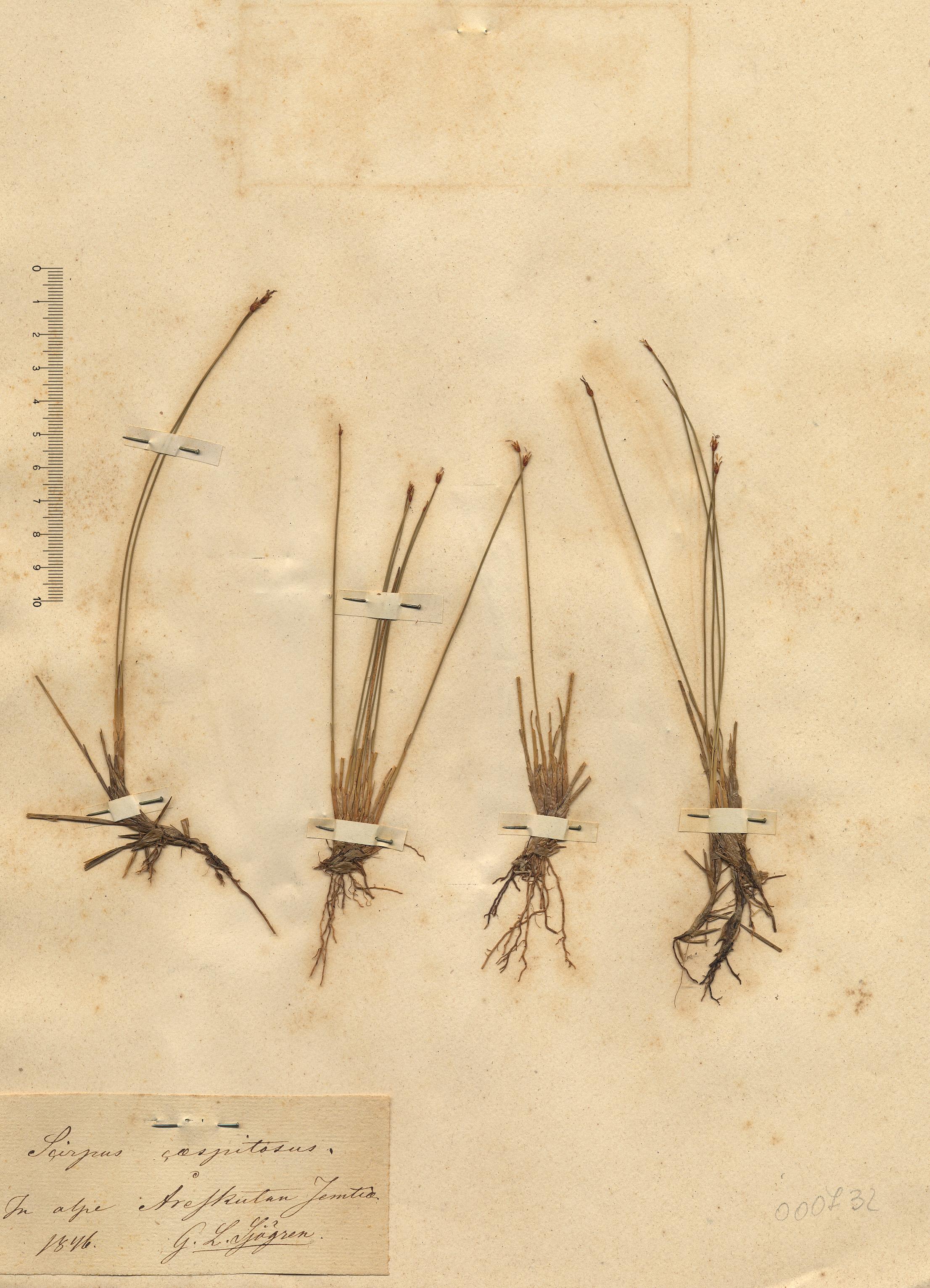 © Hortus Botanicus Catinensis - Herb. sheet 000732<br>