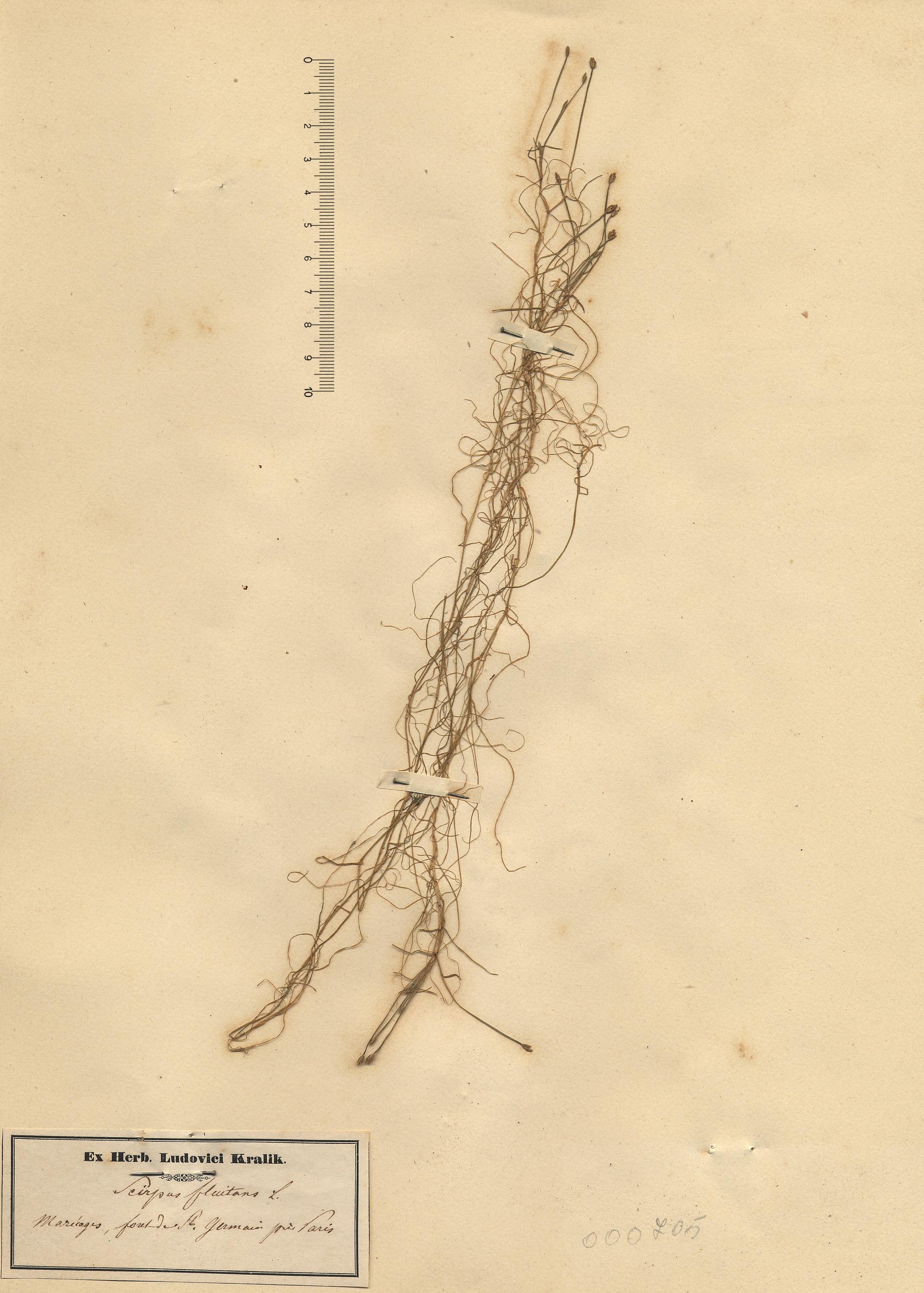 © Hortus Botanicus Catinensis - Herb. sheet 000705<br>