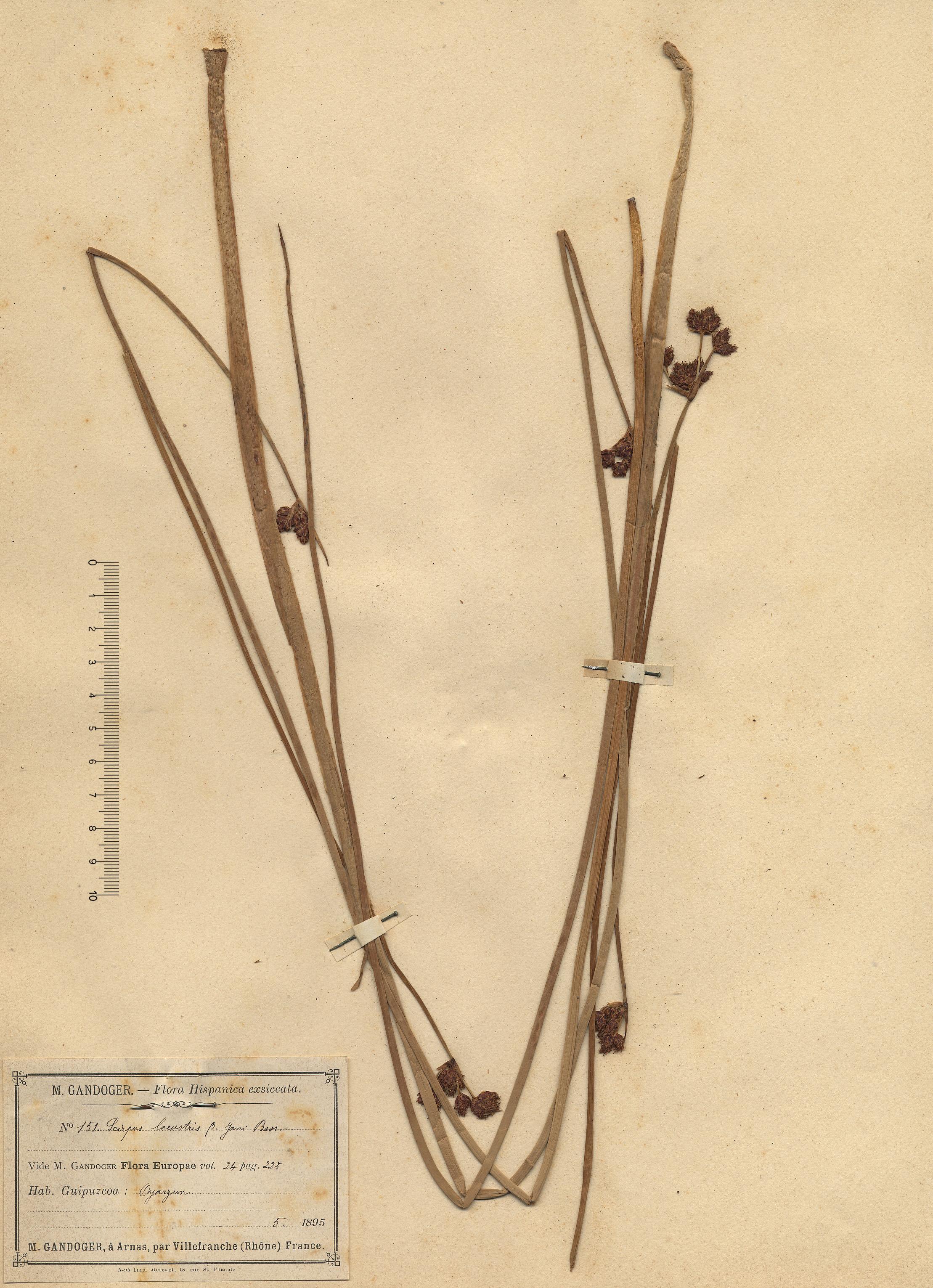 © Hortus Botanicus Catinensis - Herb. sheet 000728<br>