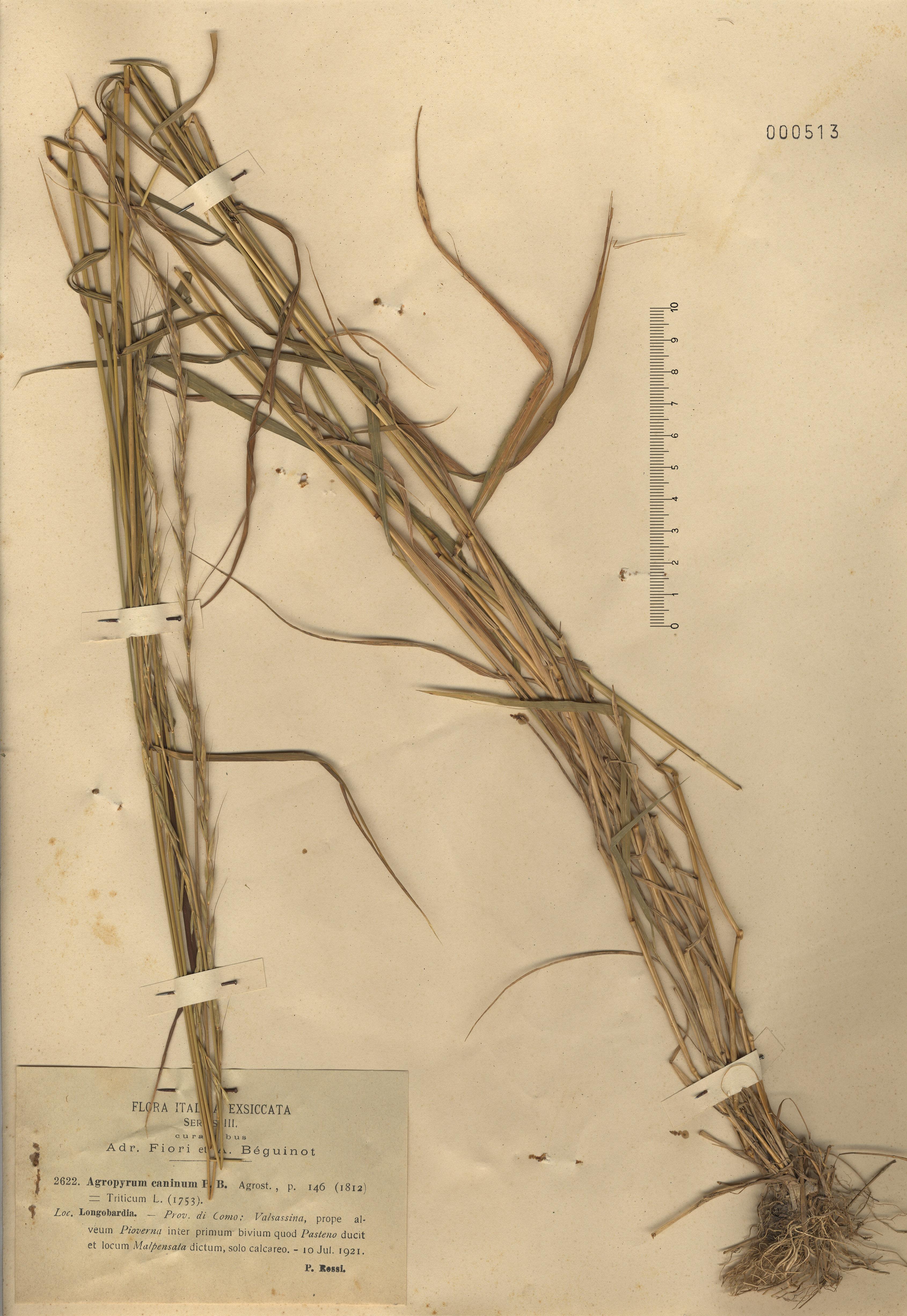 © Hortus Botanicus Catinensis - Herb. sheet 000513<br>