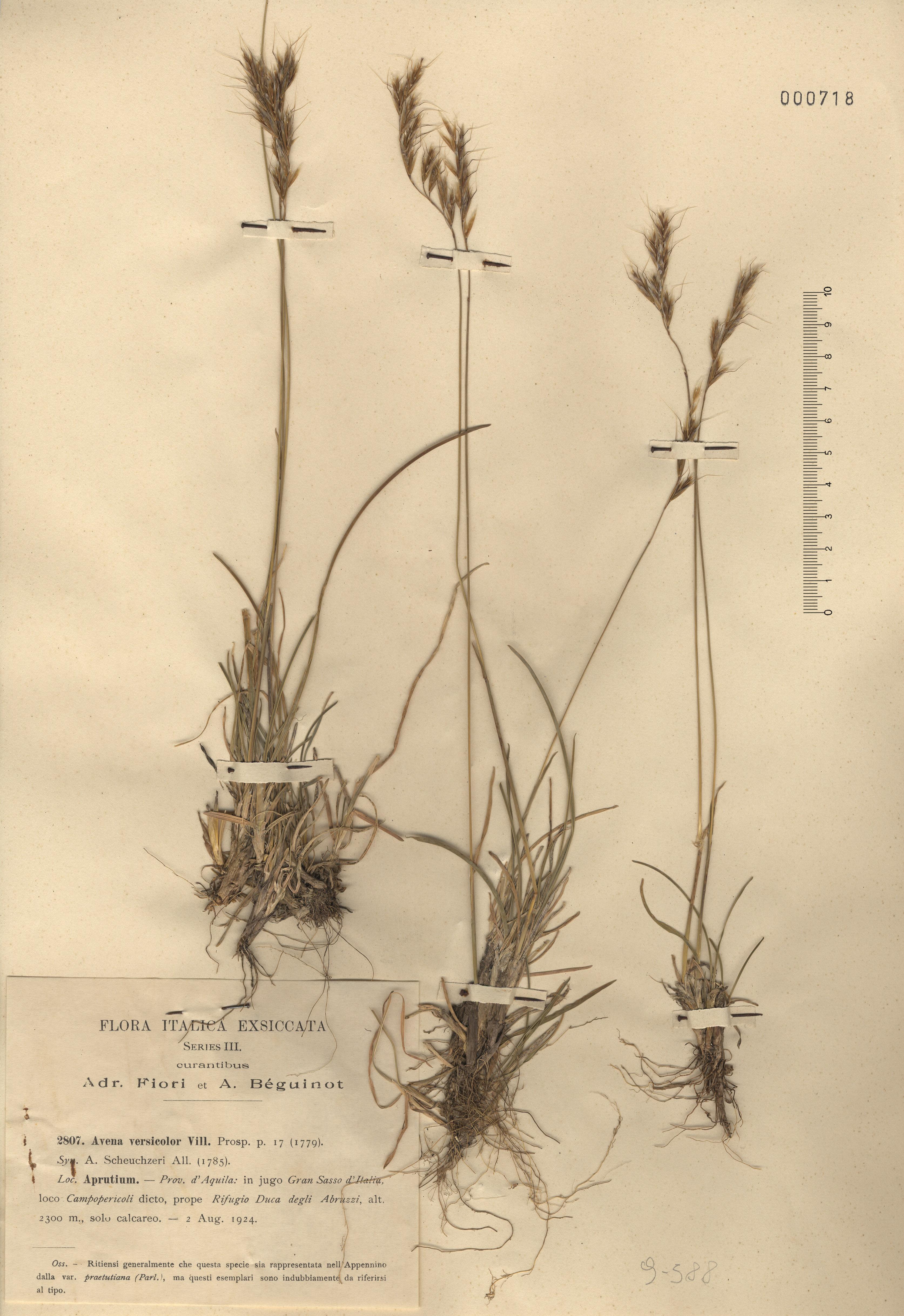 © Hortus Botanicus Catinensis - Herb. sheet 000718<br>