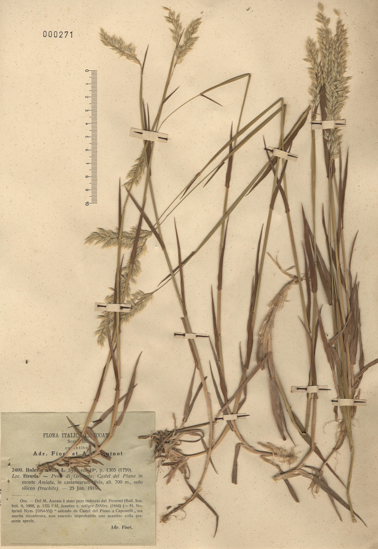© Hortus Botanicus Catinensis - Herb. sheet 000271<br>
