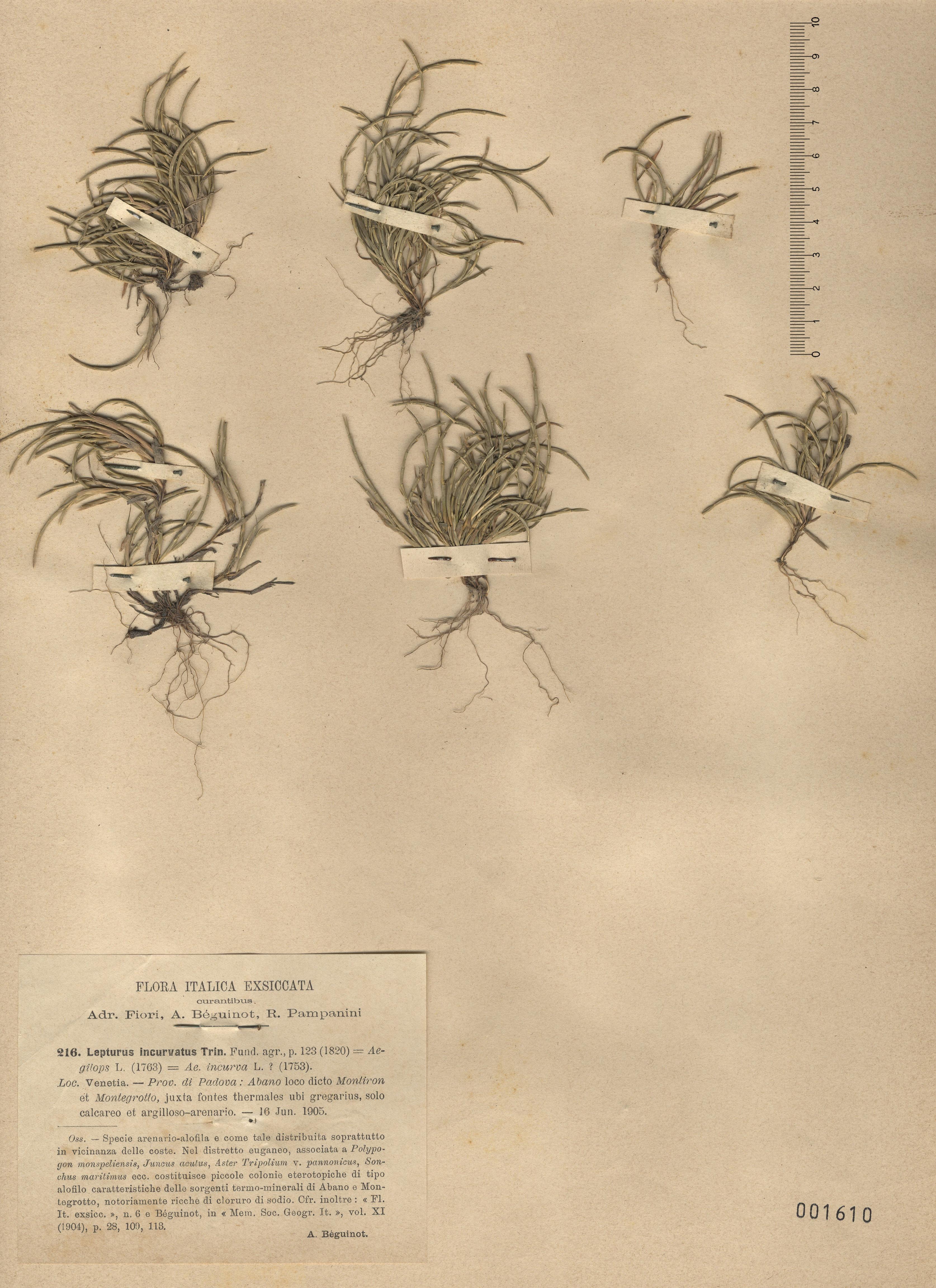 © Hortus Botanicus Catinensis - Herb. sheet 001610<br>