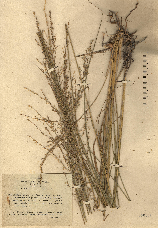 © Hortus Botanicus Catinensis - Herb. sheet 000509<br>