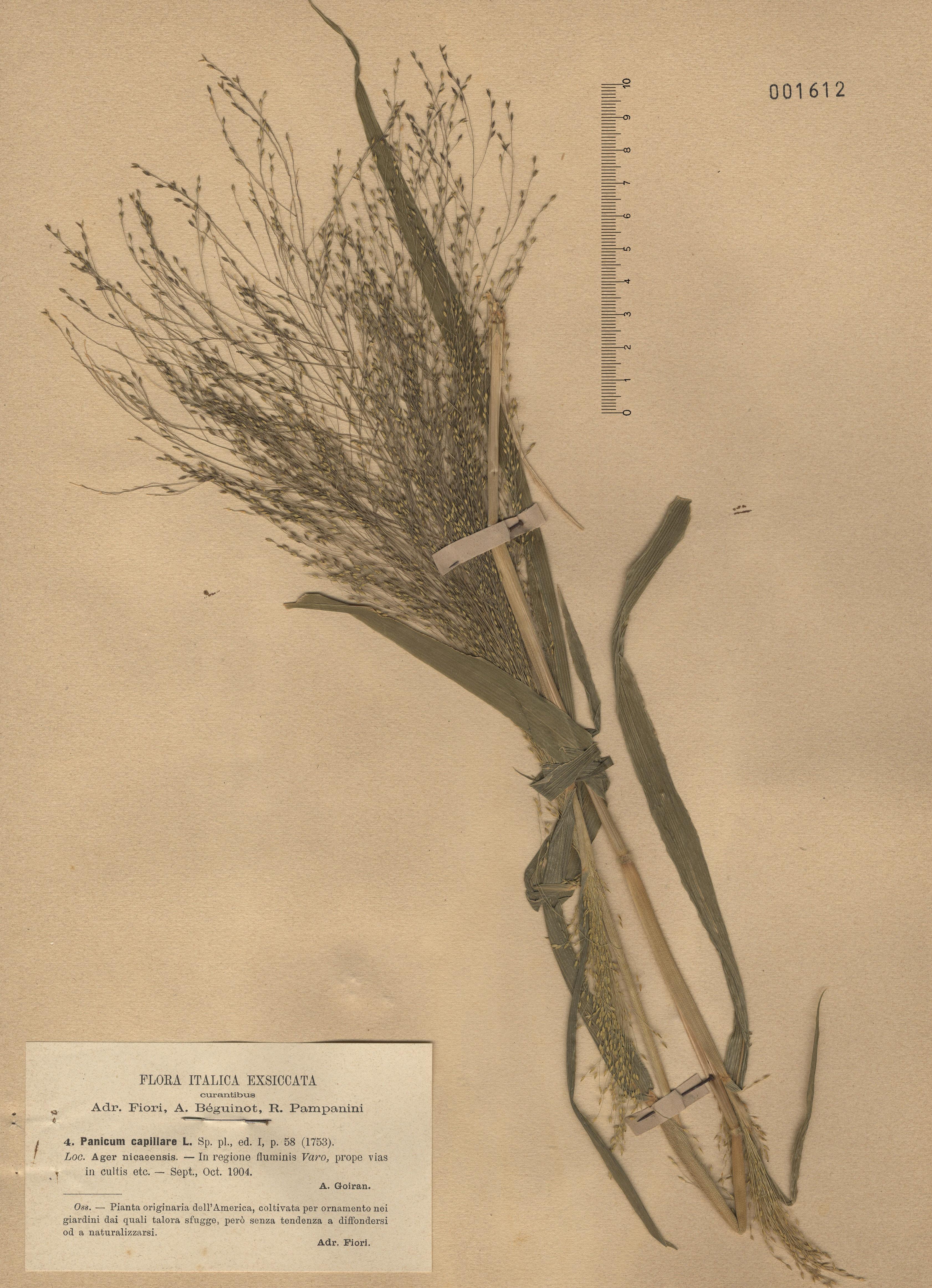 © Hortus Botanicus Catinensis - Herb. sheet 001612<br>