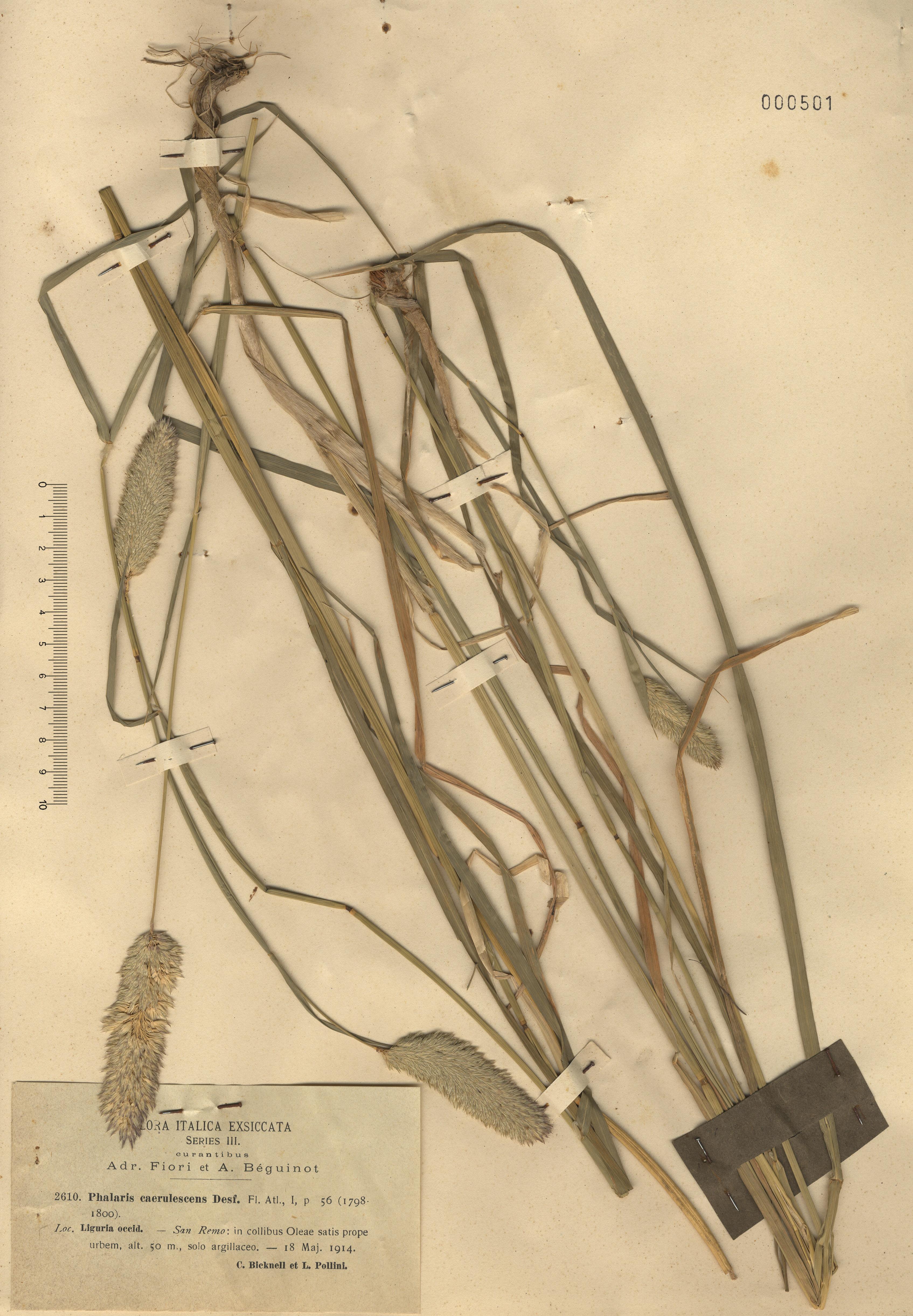 © Hortus Botanicus Catinensis - Herb. sheet 000501<br>