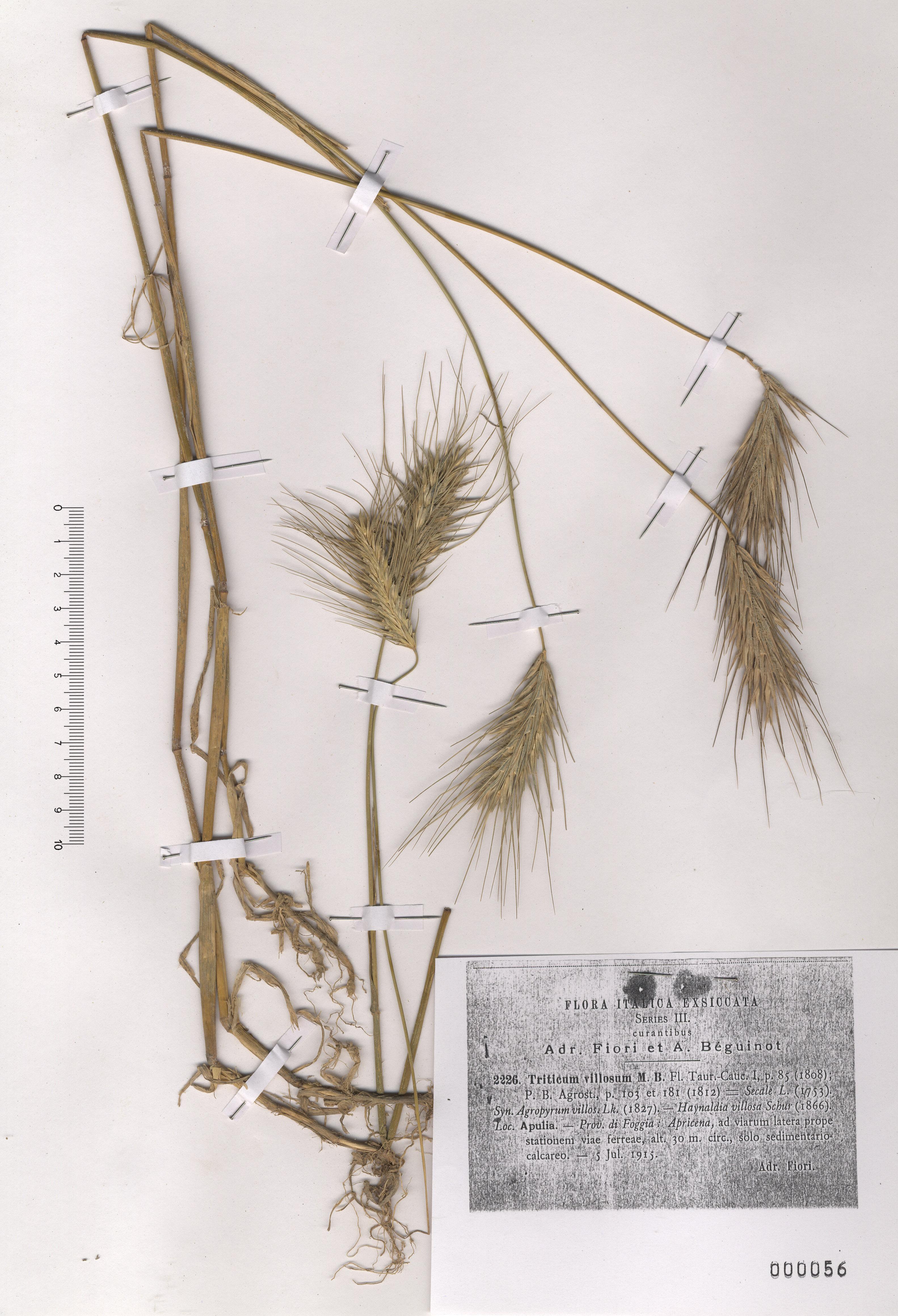 © Hortus Botanicus Catinensis - Herb. sheet 0000056<br>