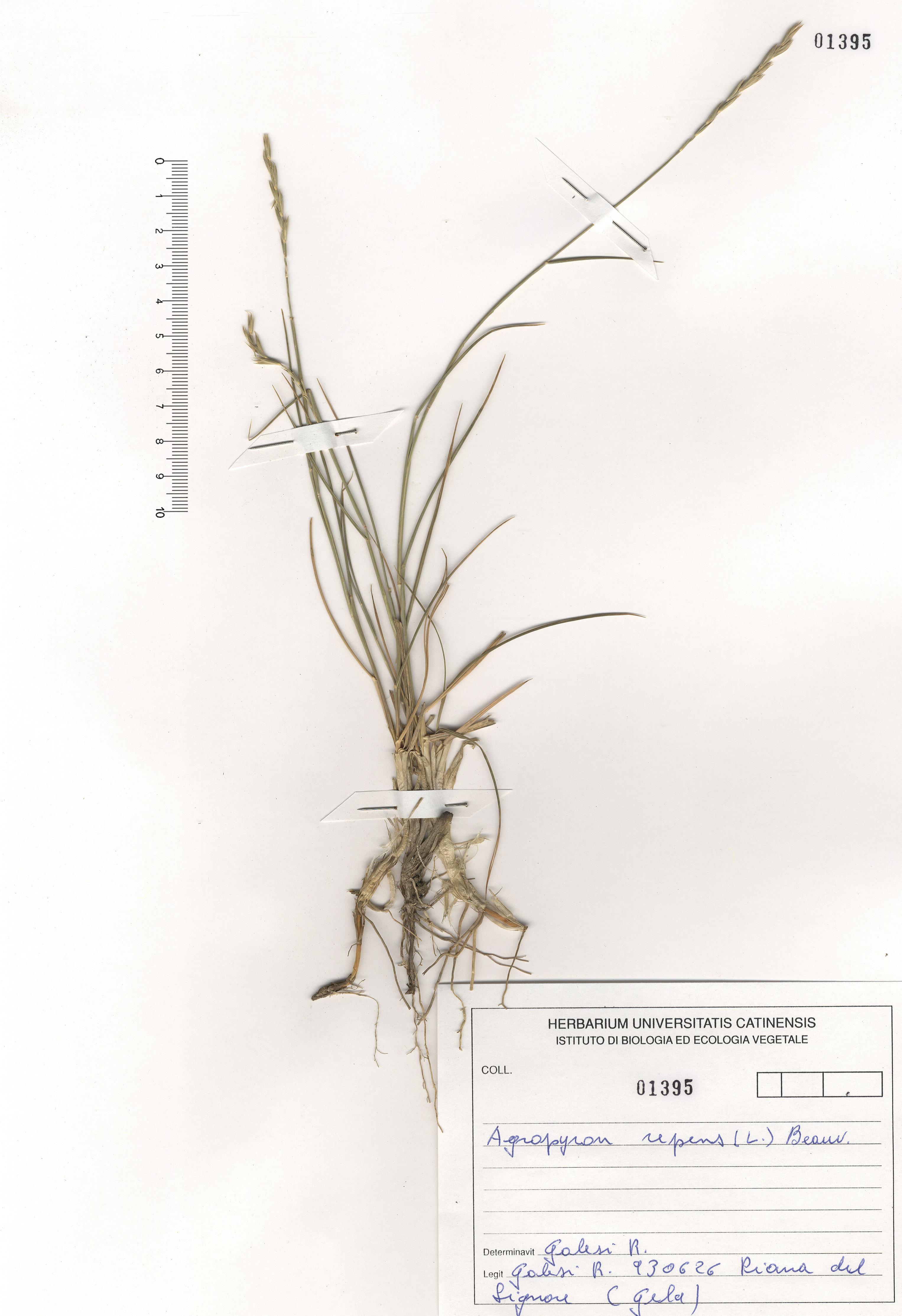 © Hortus Botanicus Catinensis - Herb. sheet 101395<br>