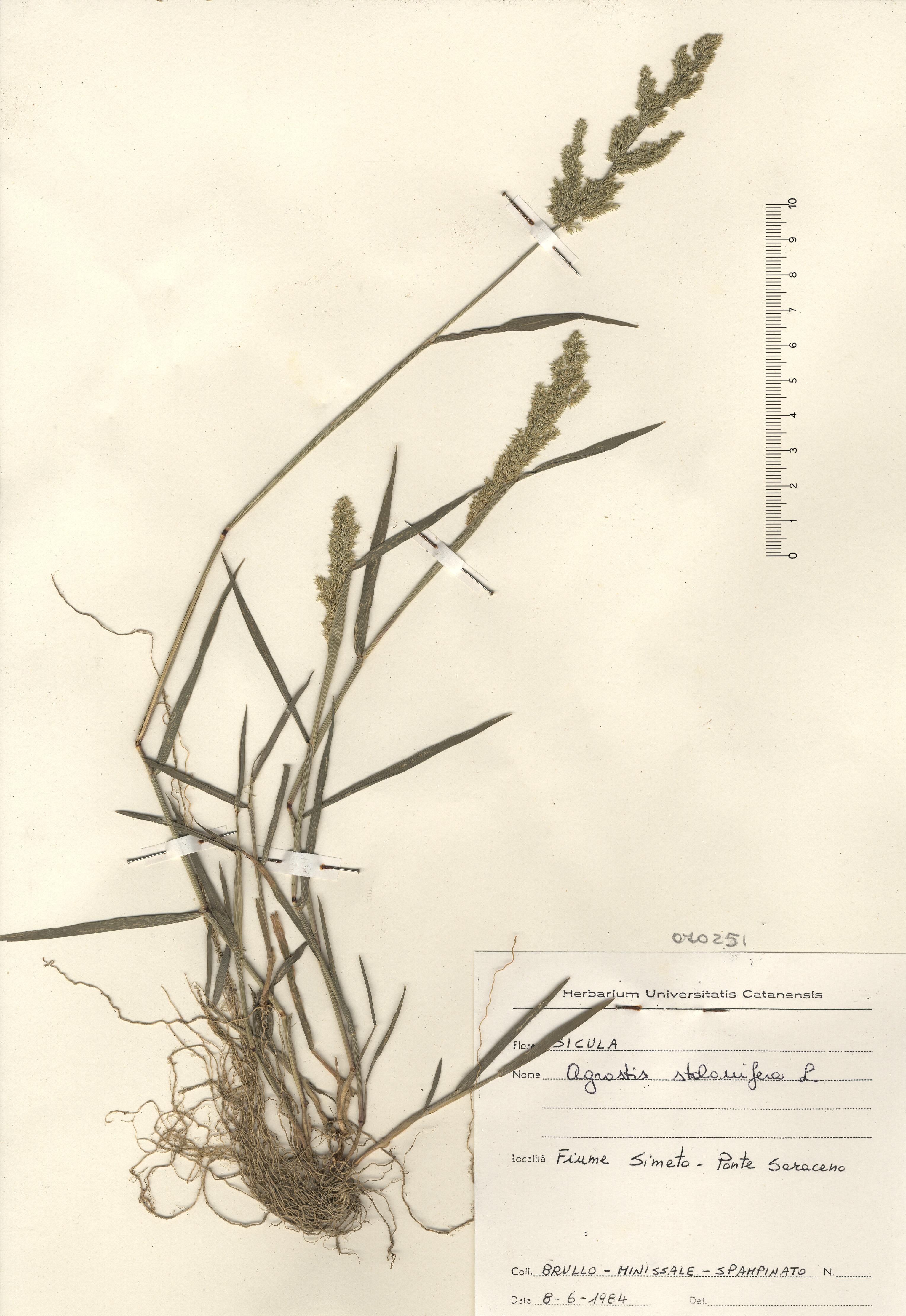 © Hortus Botanicus Catinensis - Herb. sheet 070251<br>