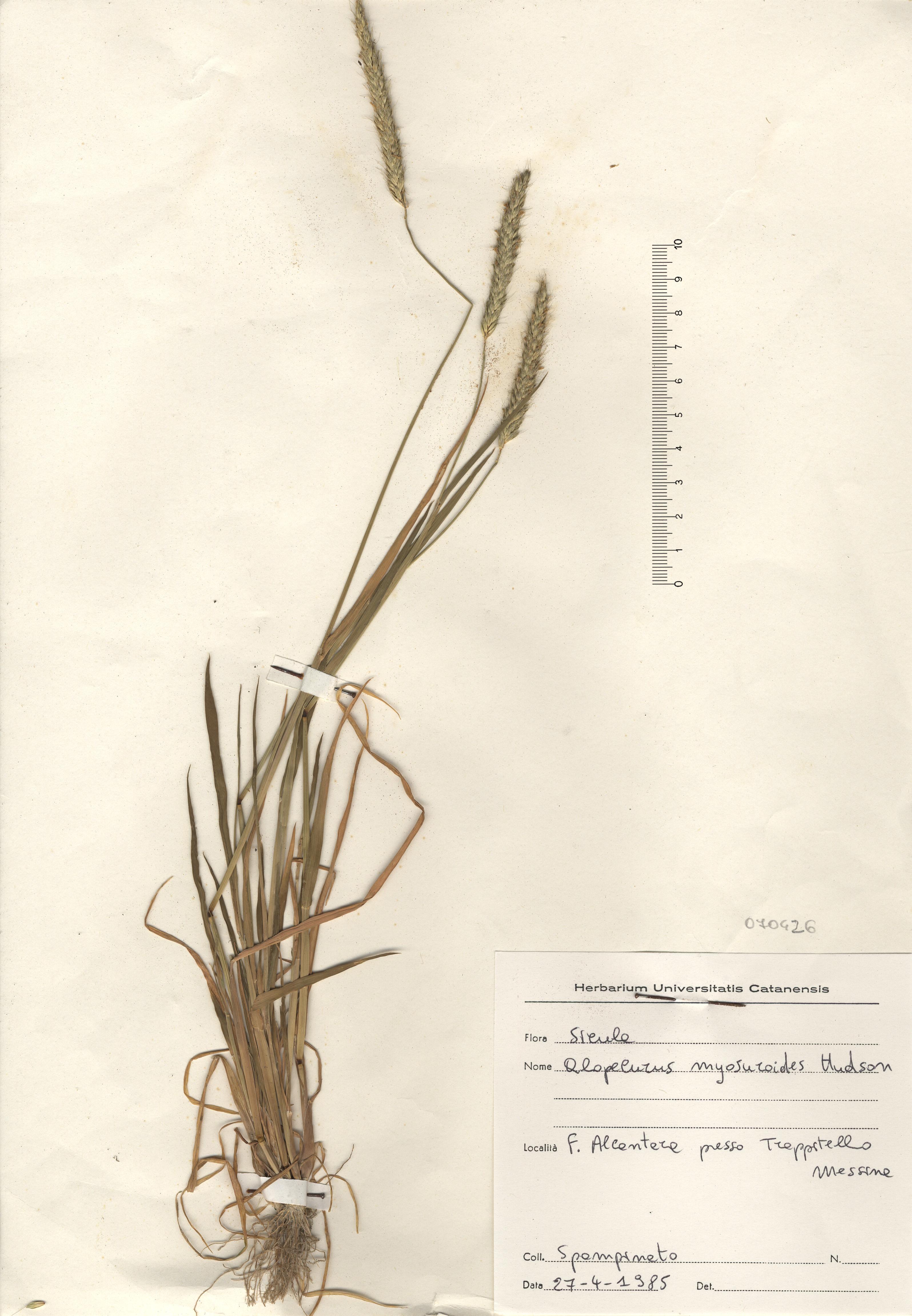 © Hortus Botanicus Catinensis - Herb. sheet 070426<br>