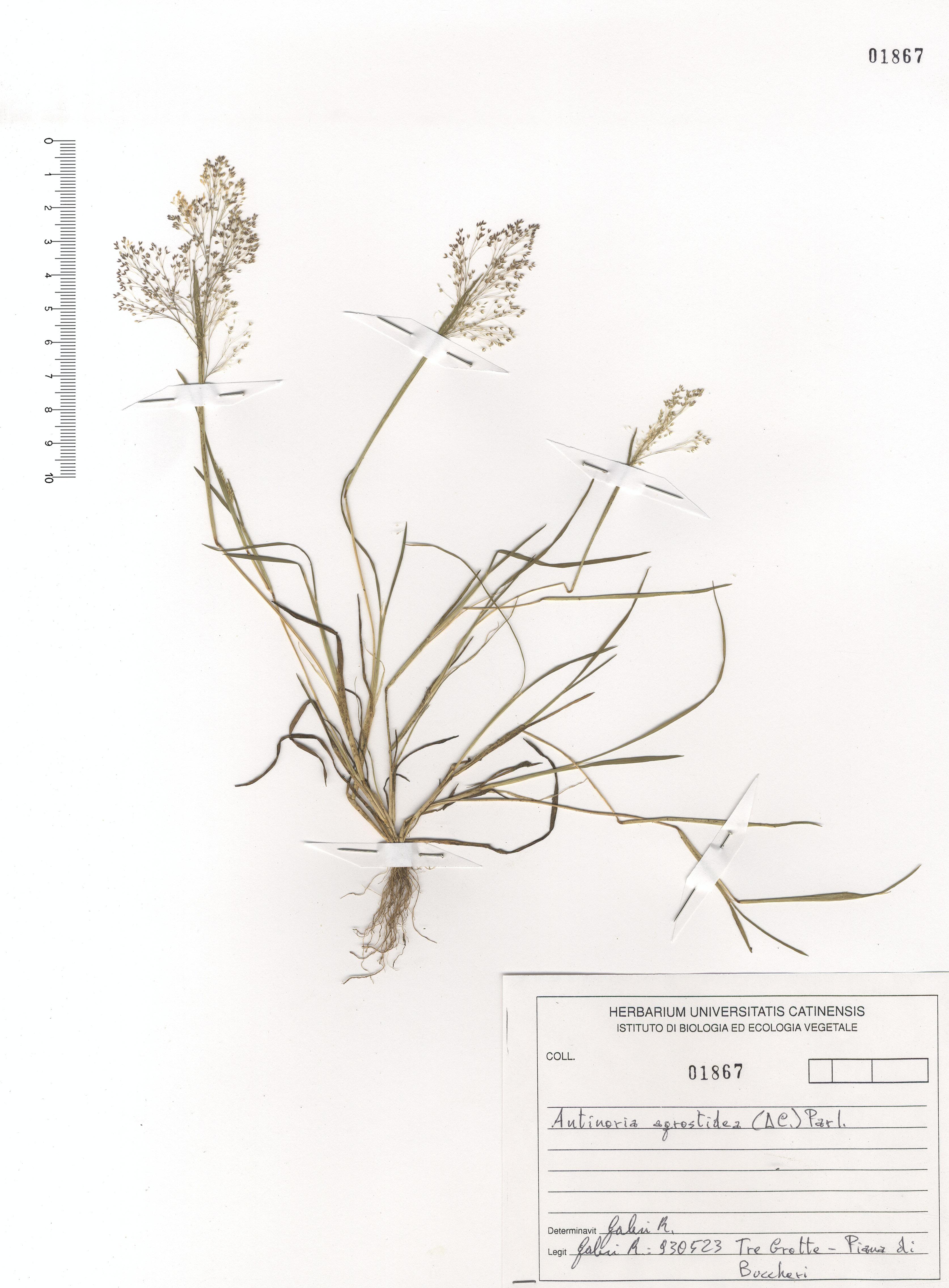 © Hortus Botanicus Catinensis - Herb. shhet 101867<br>