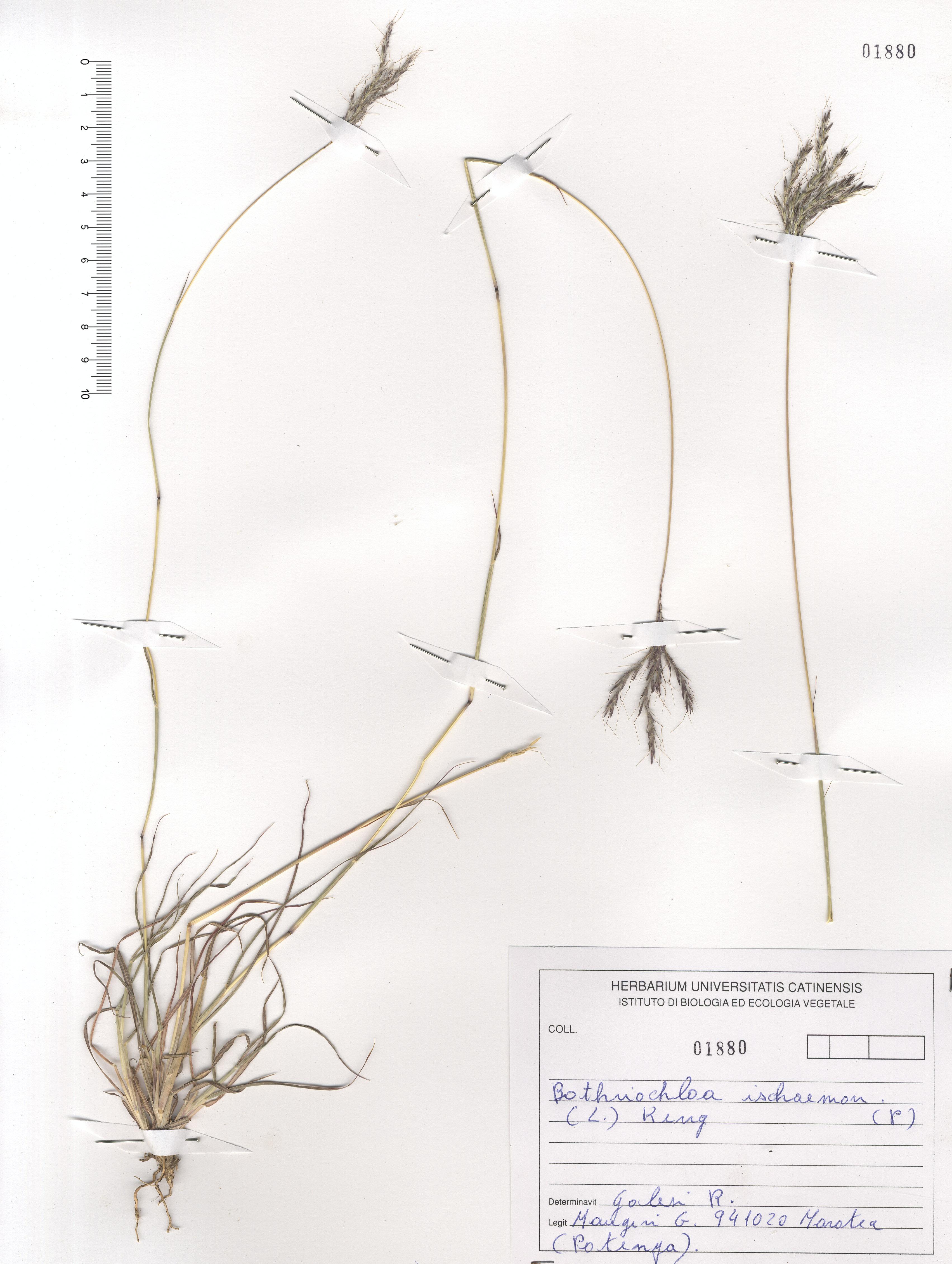 © Hortus Botanicus Catinensis - Herb. sheet 101880<br>