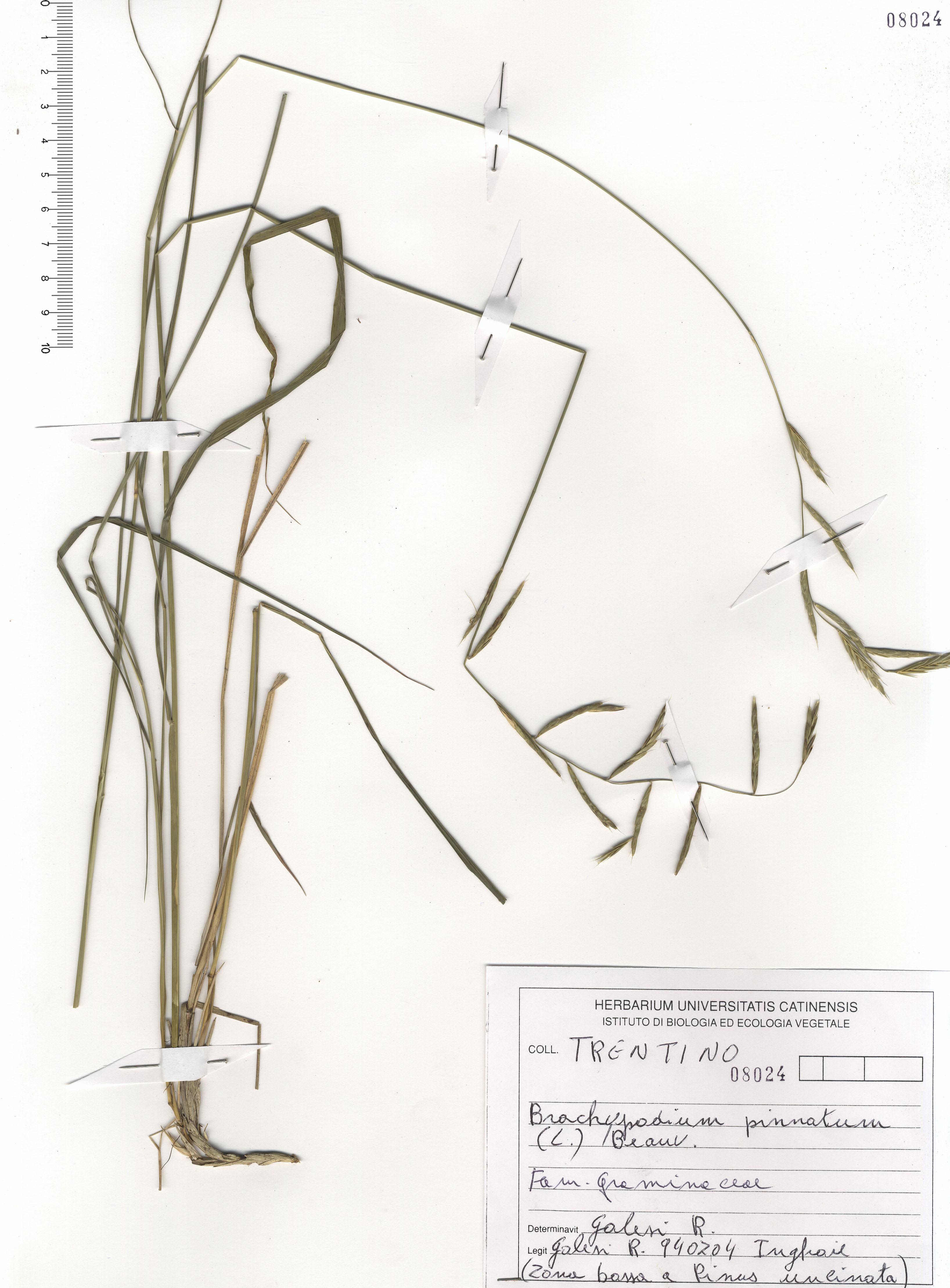 © Hortus Botanicus Catinensis - Herb. sheet 108024<br>