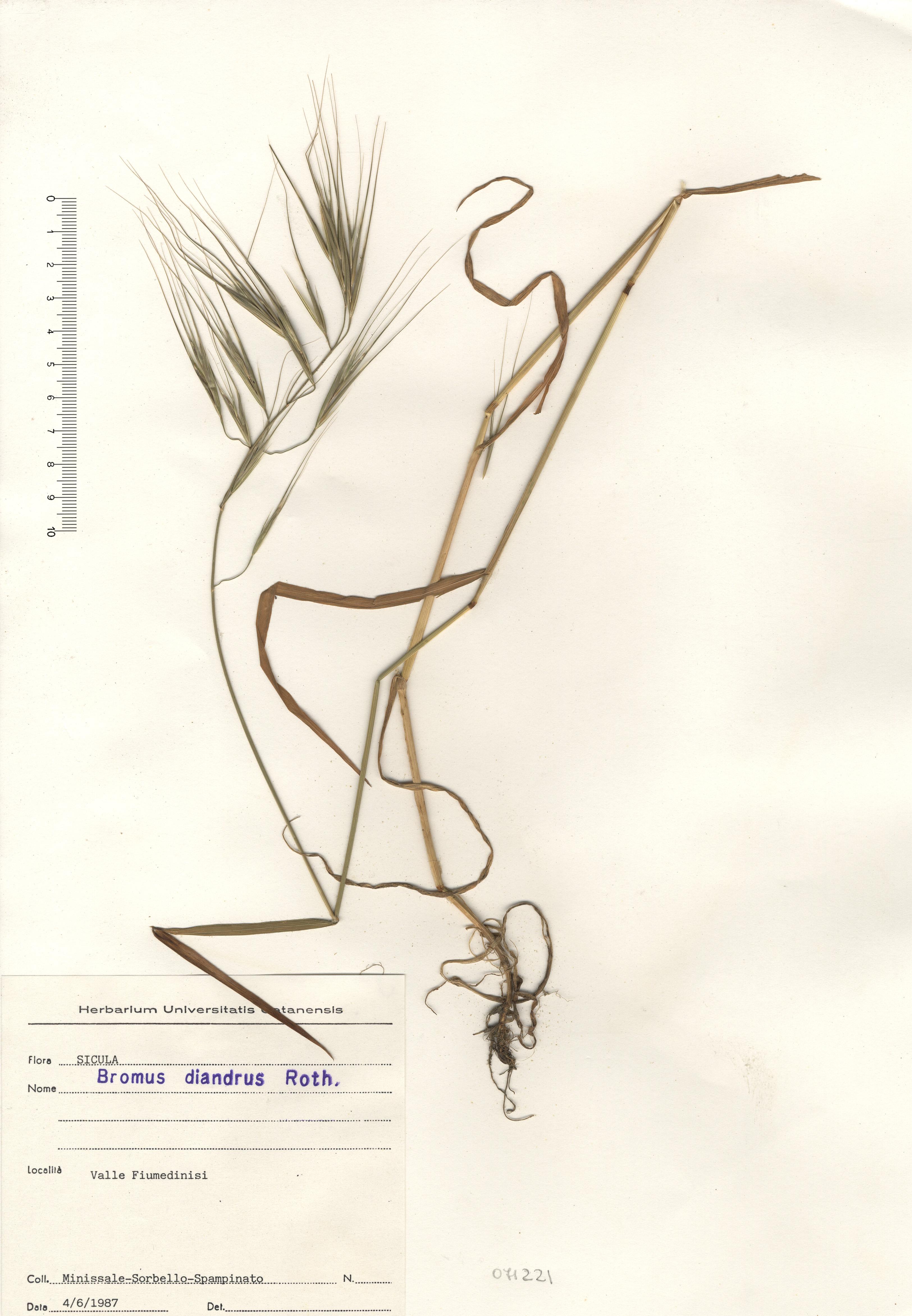 © Hortus Botanicus Catinensis - Herb. sheet 071221<br>