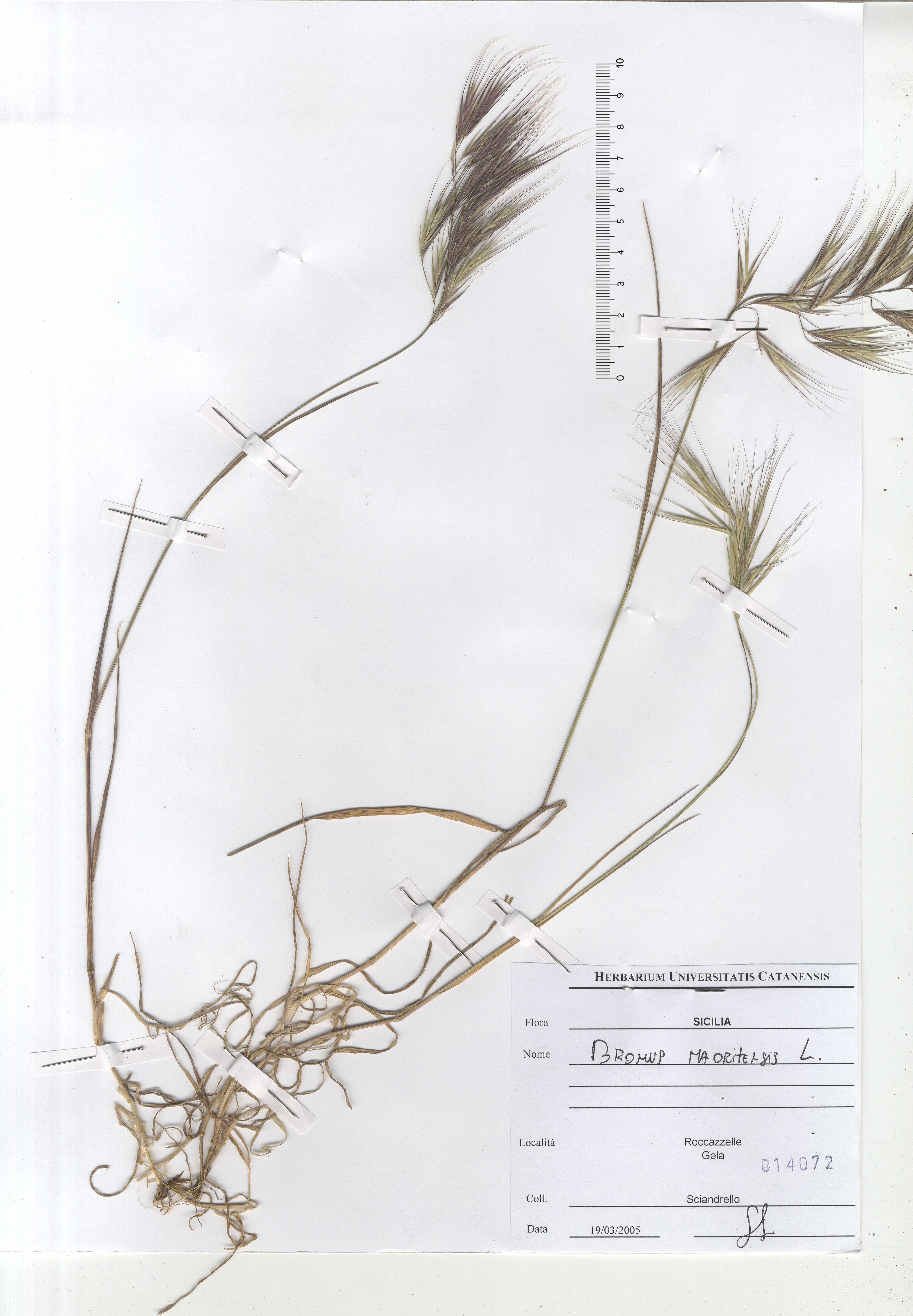 © Hortus Botanicus Catinensis - Herb. sheet 014072<br>