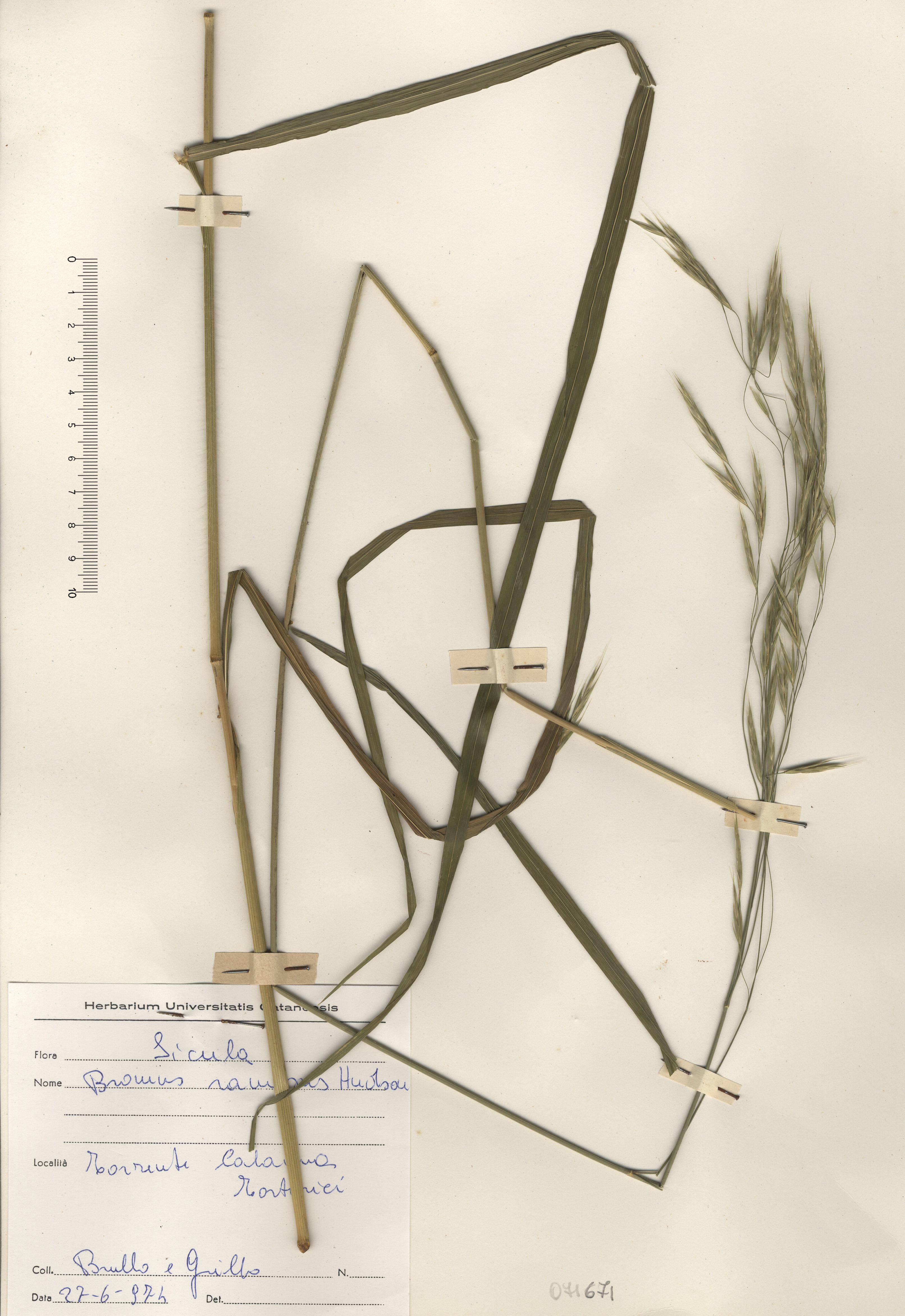 © Hortus Botanicus Catinensis - Herb. sheet 071671<br>