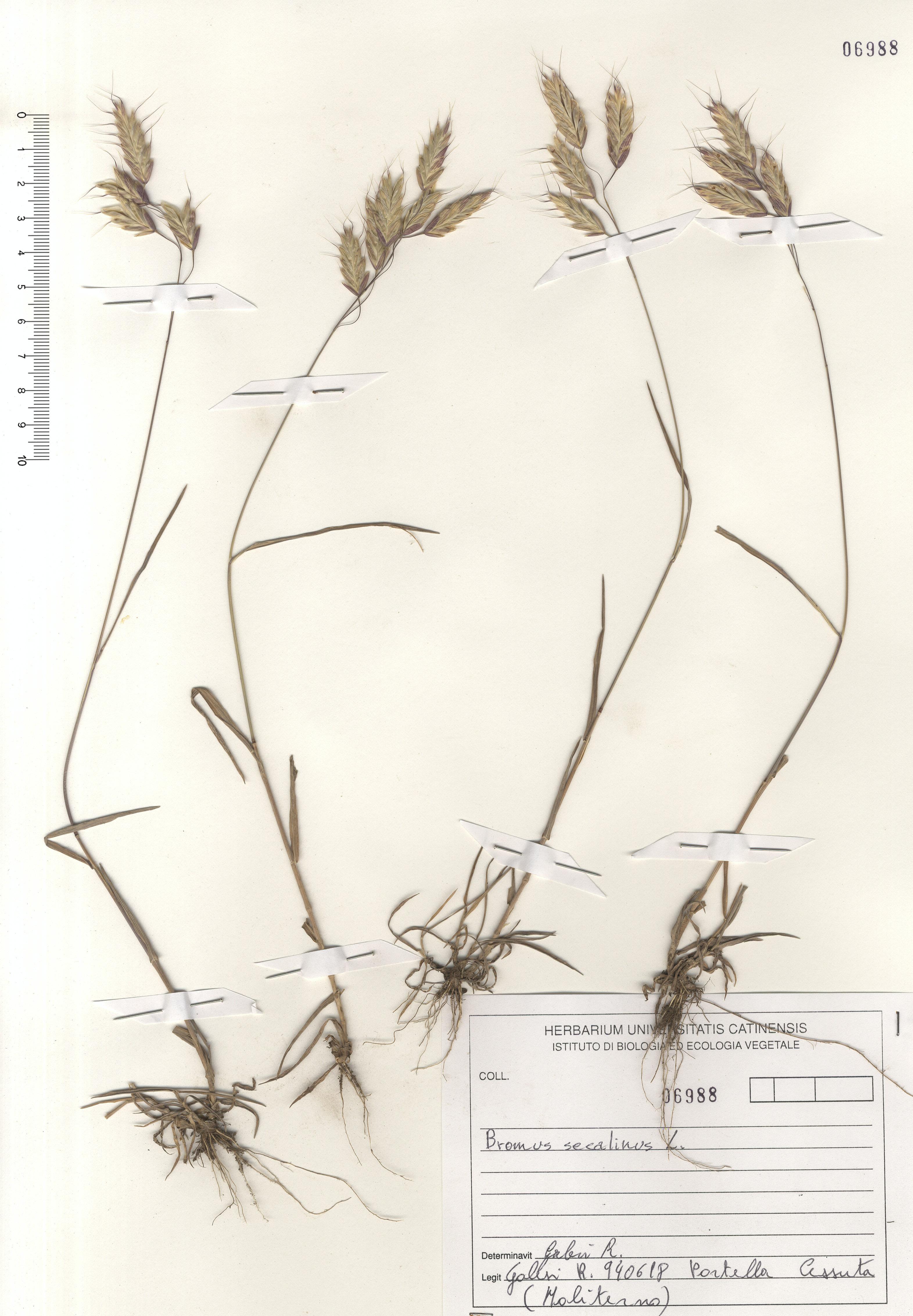 © Hortus Botanicus Catinensis - Herb. sheet 106998<br>