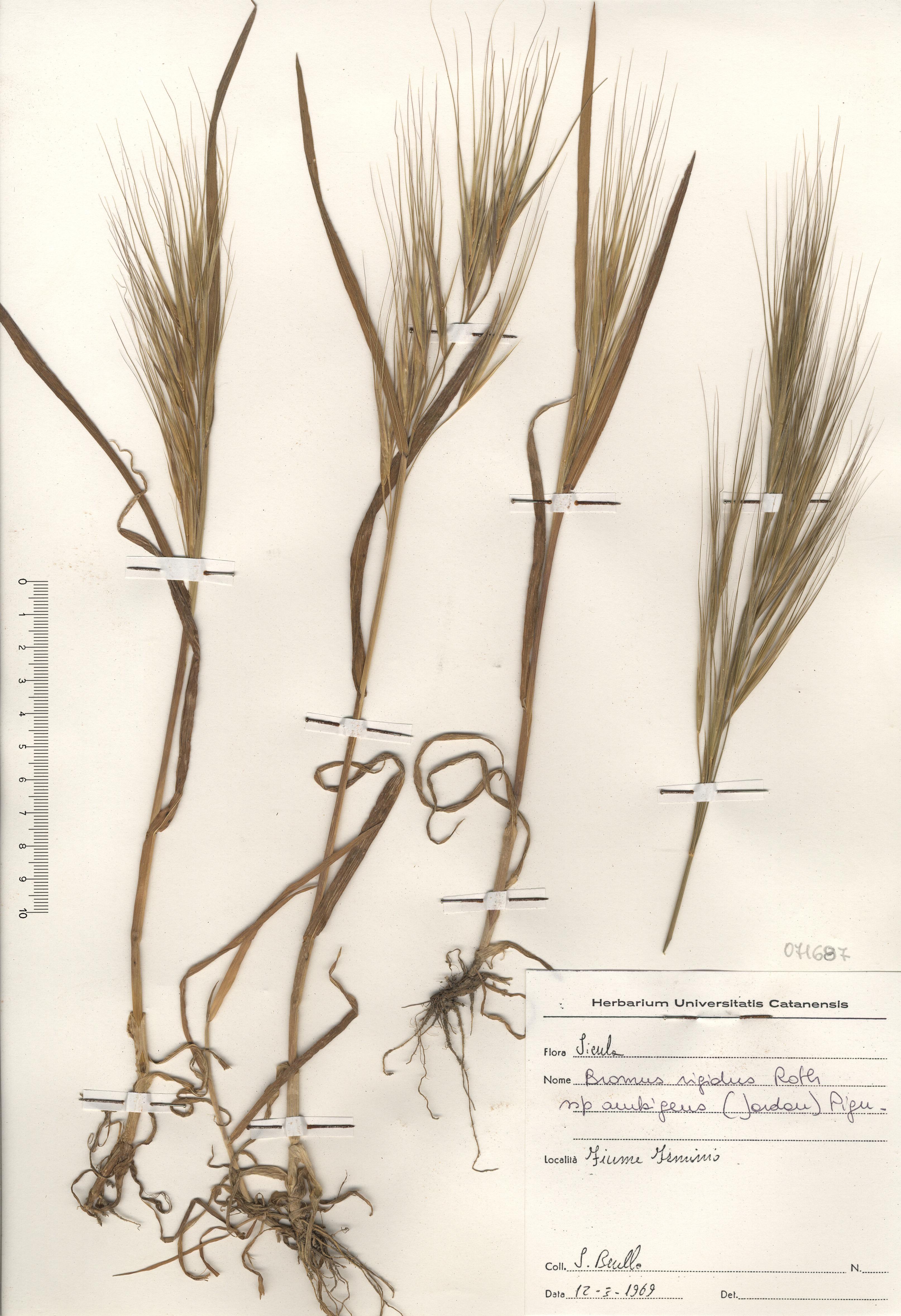 © Hortus Botanicus Catinensis - Herb. sheet 071687<br>