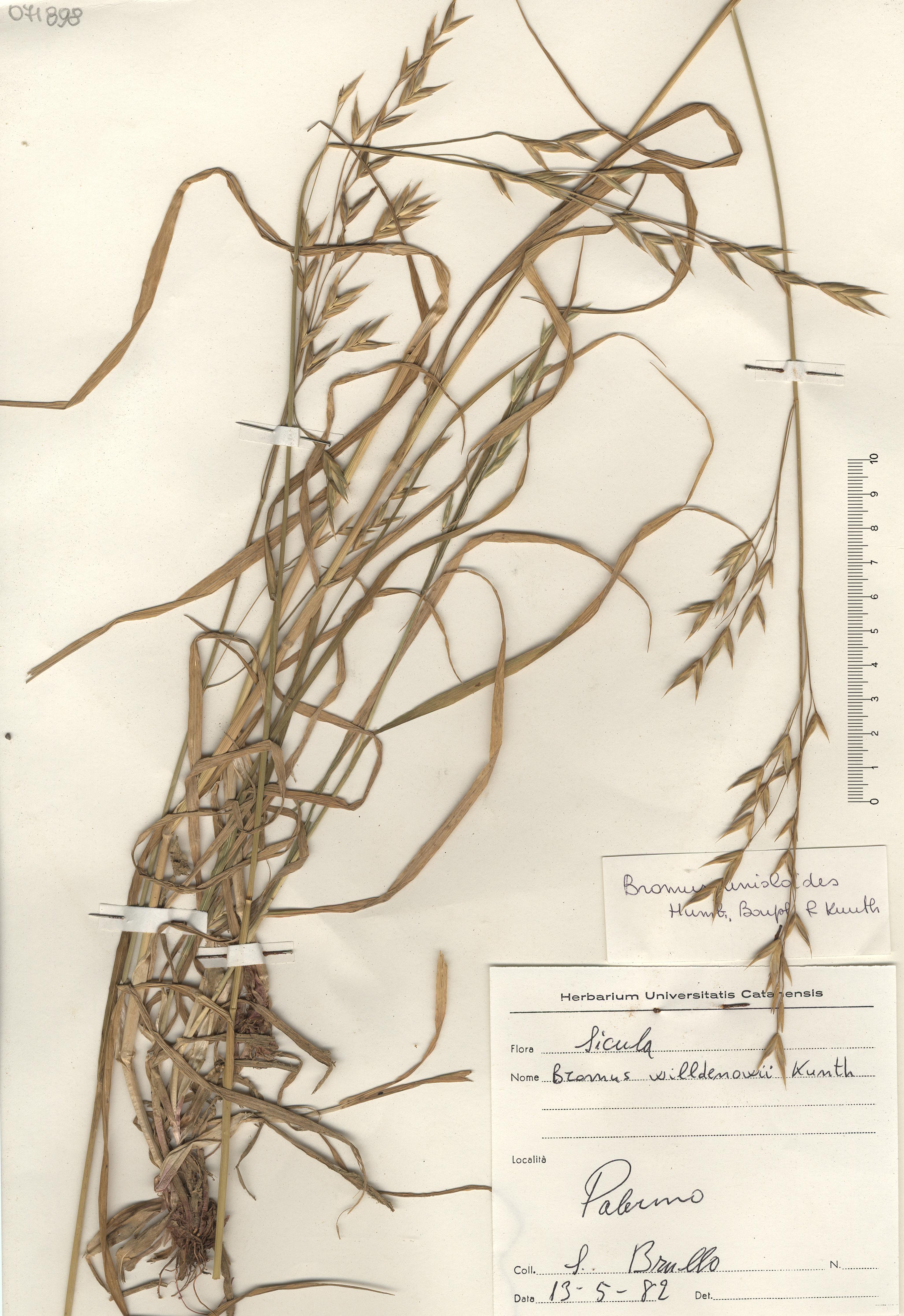 © Hortus Botanicus Catinensis - Herb. sheet 071898<br>