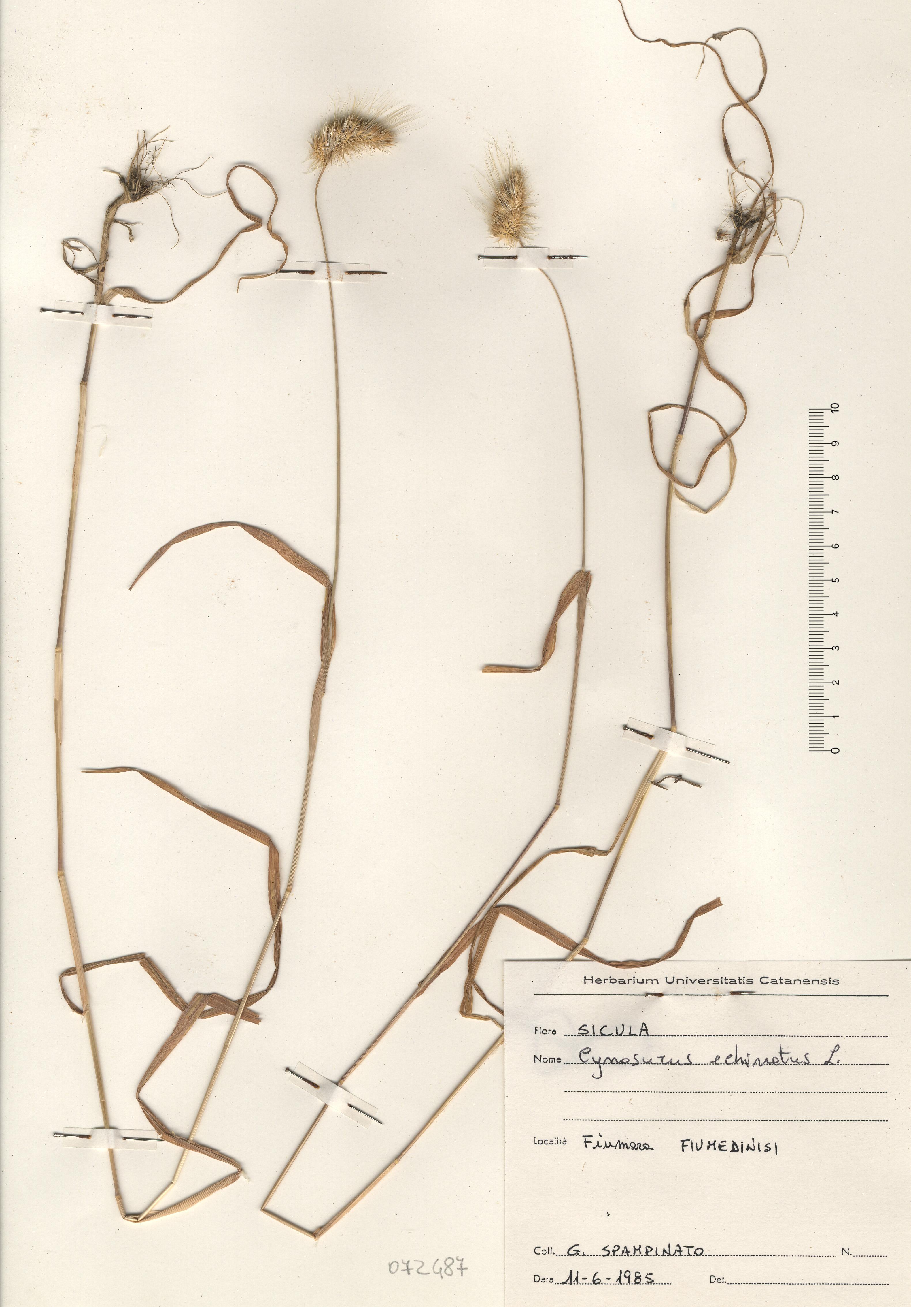© Hortus Botanicus Catinensis - Herb. sheet 072487<br>