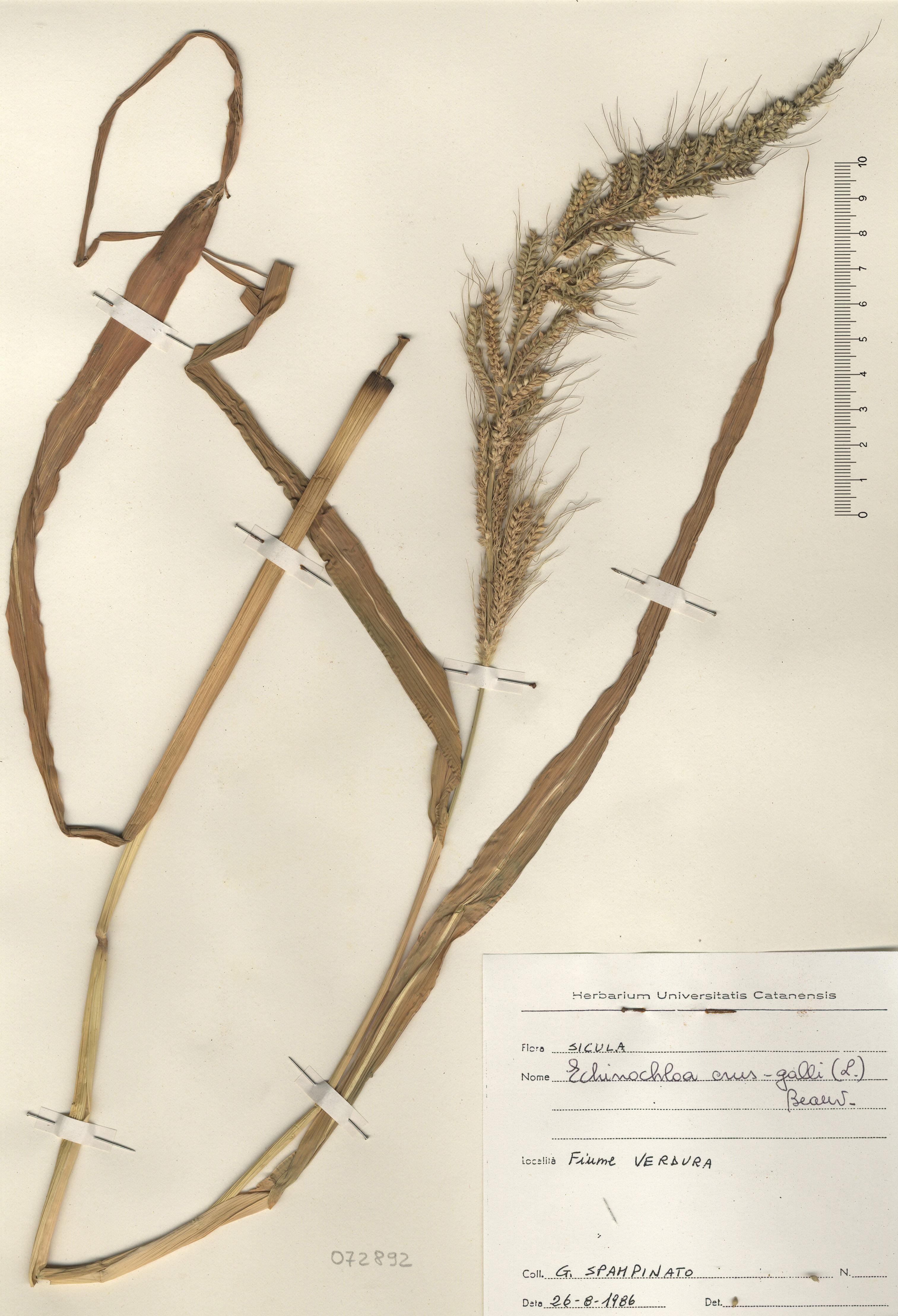 &copy; Hortus Botanicus Catinensis - Herb. sheet  072892<br>