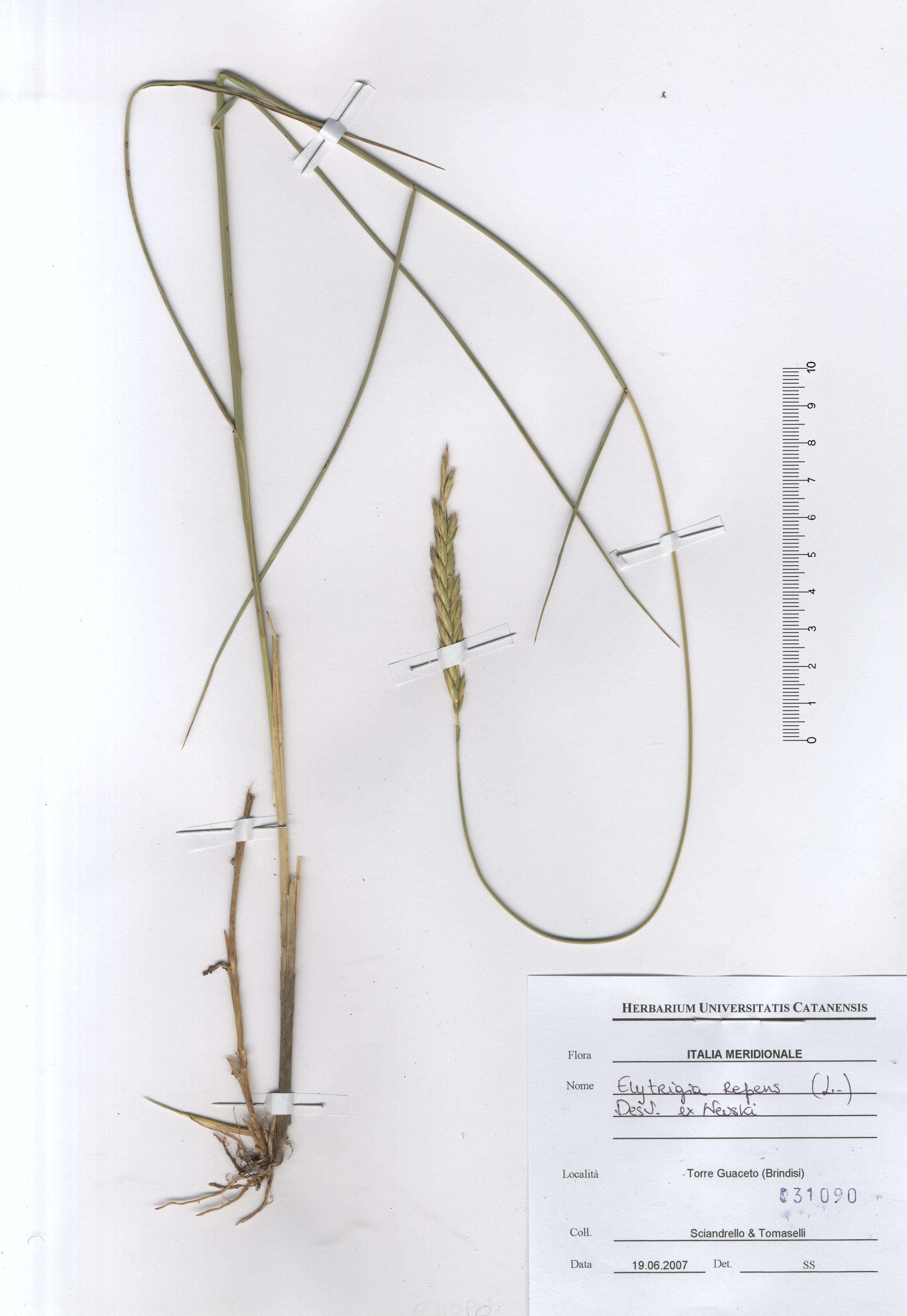 © Hortus Botanicus Catinensis - Herb. sheet  031090<br>