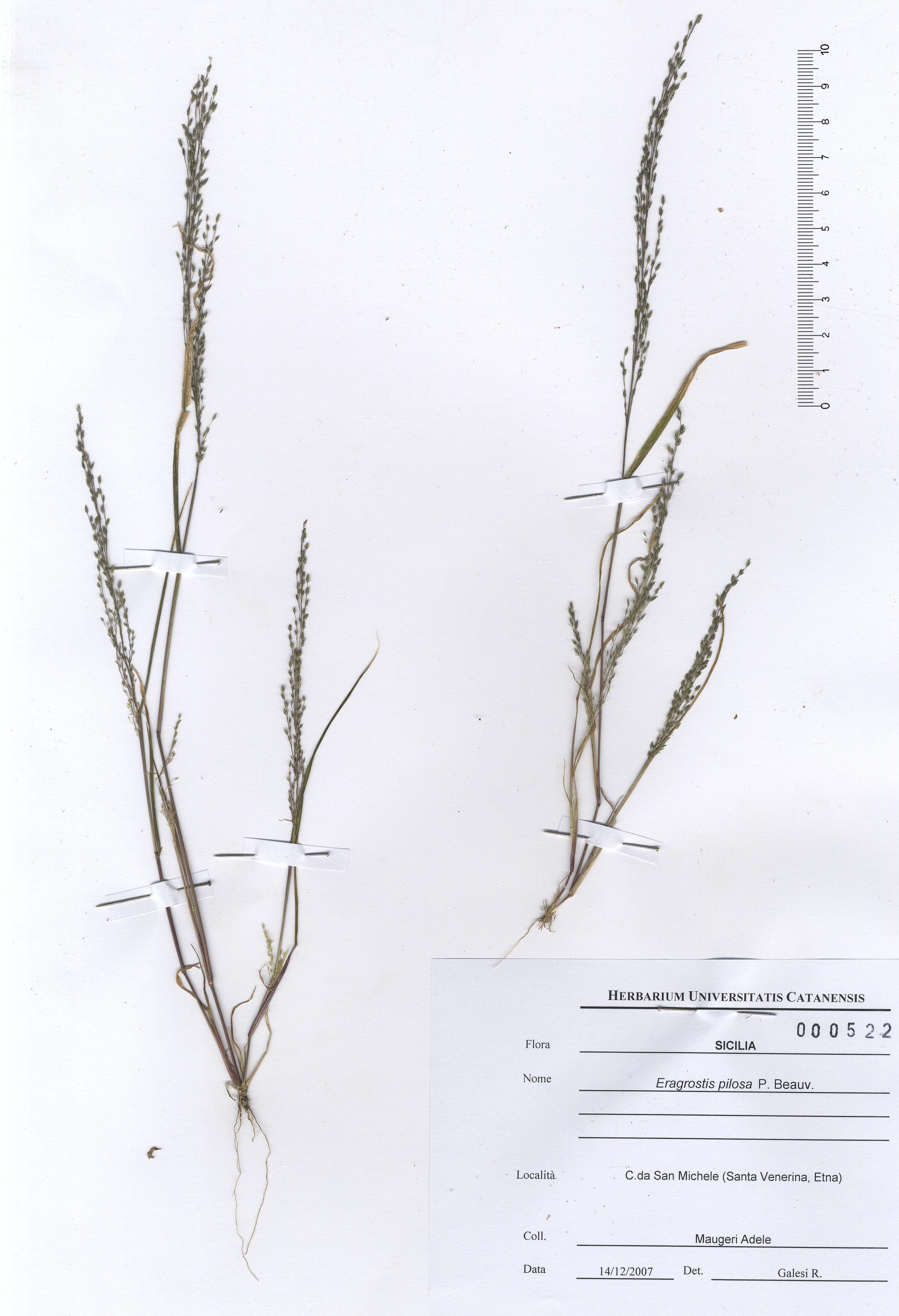 © Hortus Botanicus Catinensis - Herb. sheet  000522<br>
