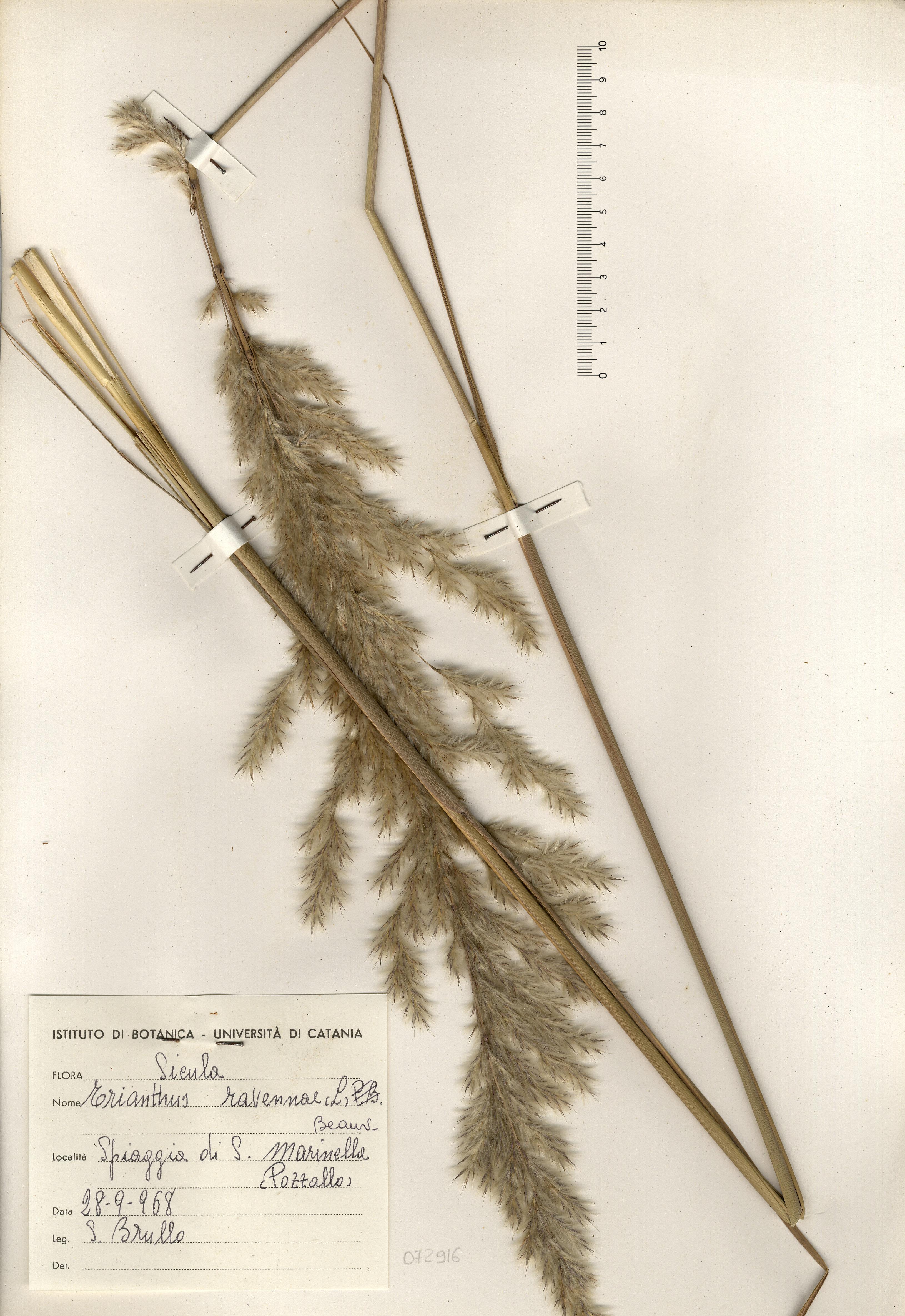 © Hortus Botanicus Catinensis - Herb. sheet  72916<br>