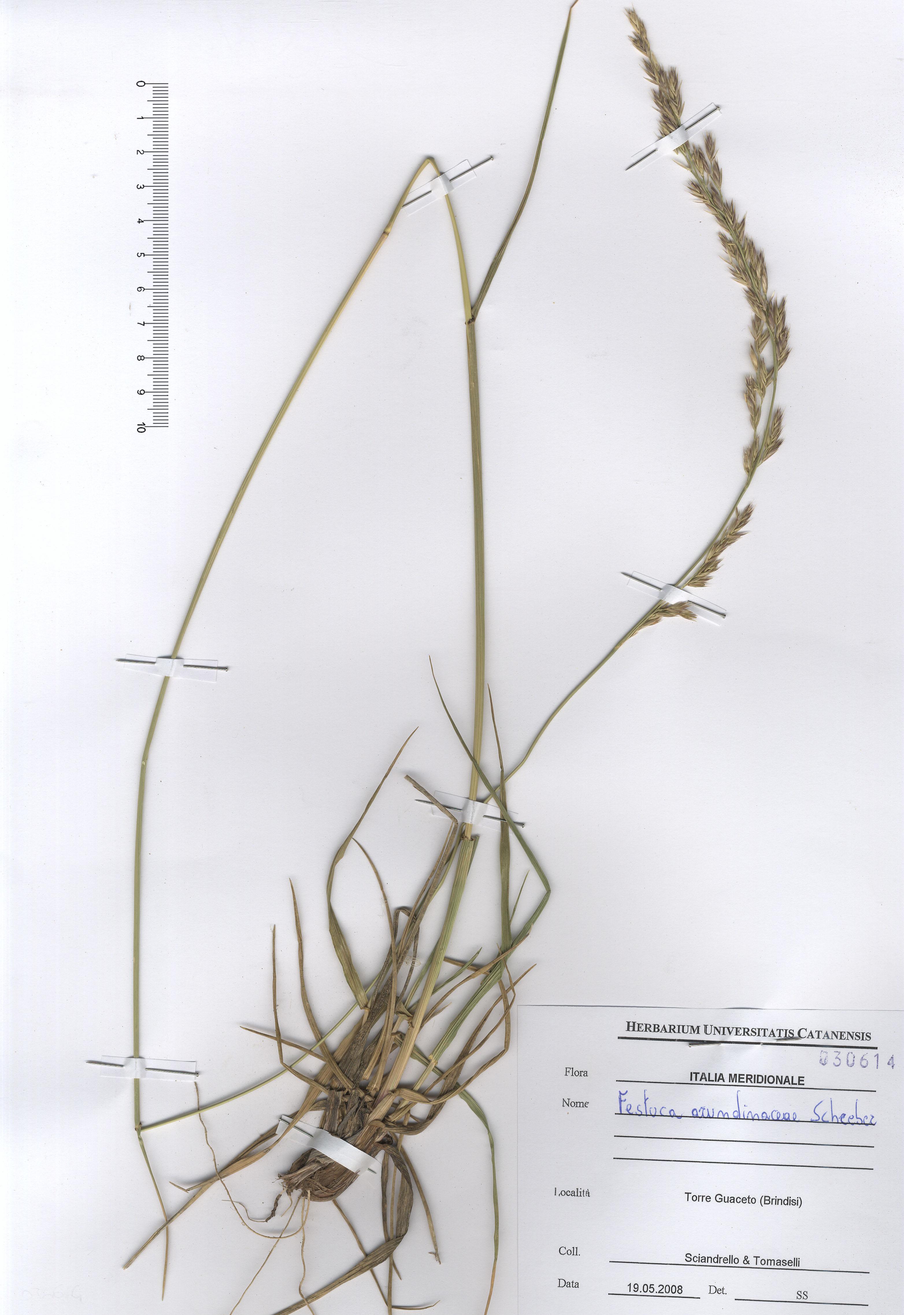 © Hortus Botanicus Catinensis - Herb. sheet  030614<br>
