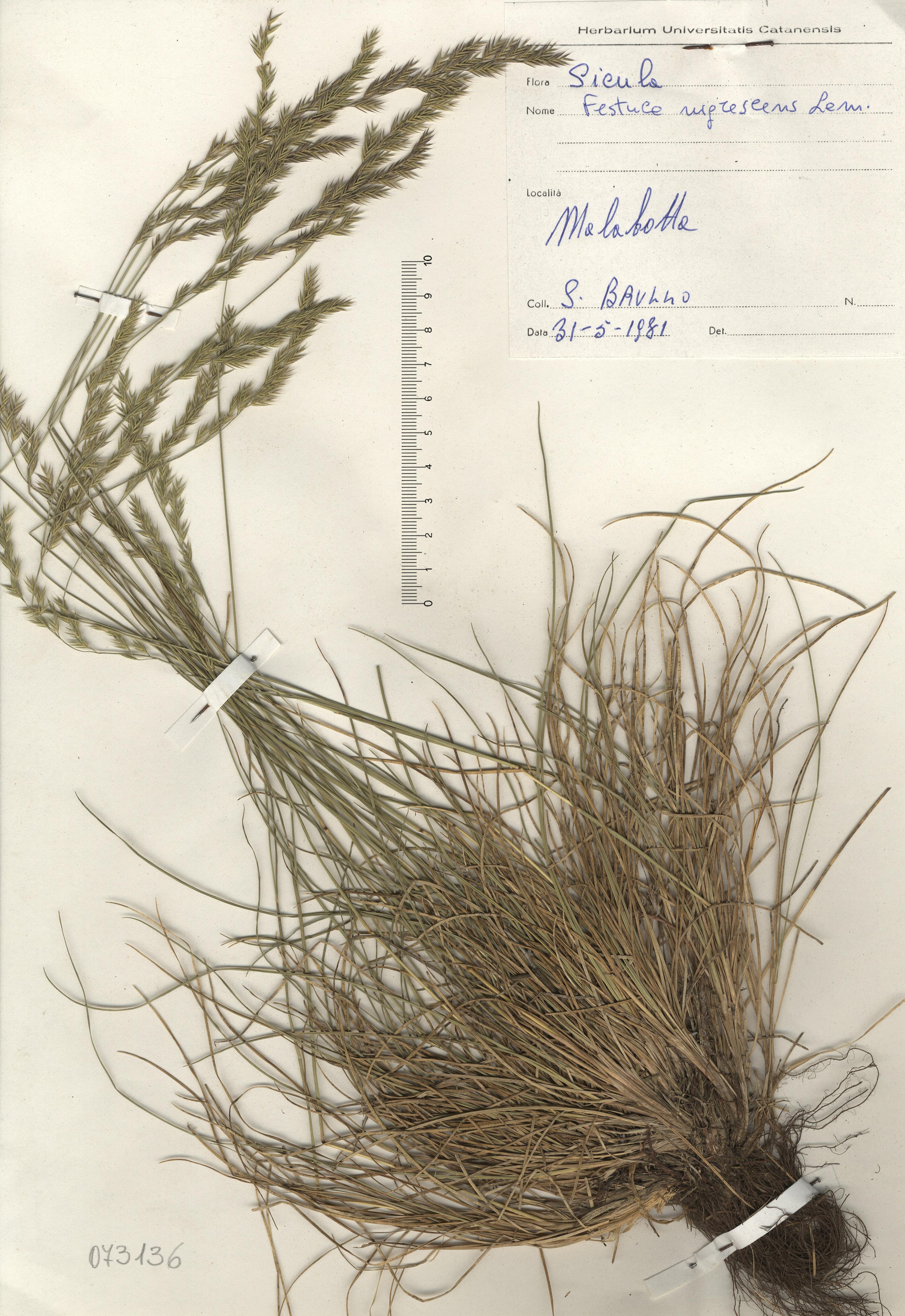 © Hortus Botanicus Catinensis - Herb. sheet  073136<br>