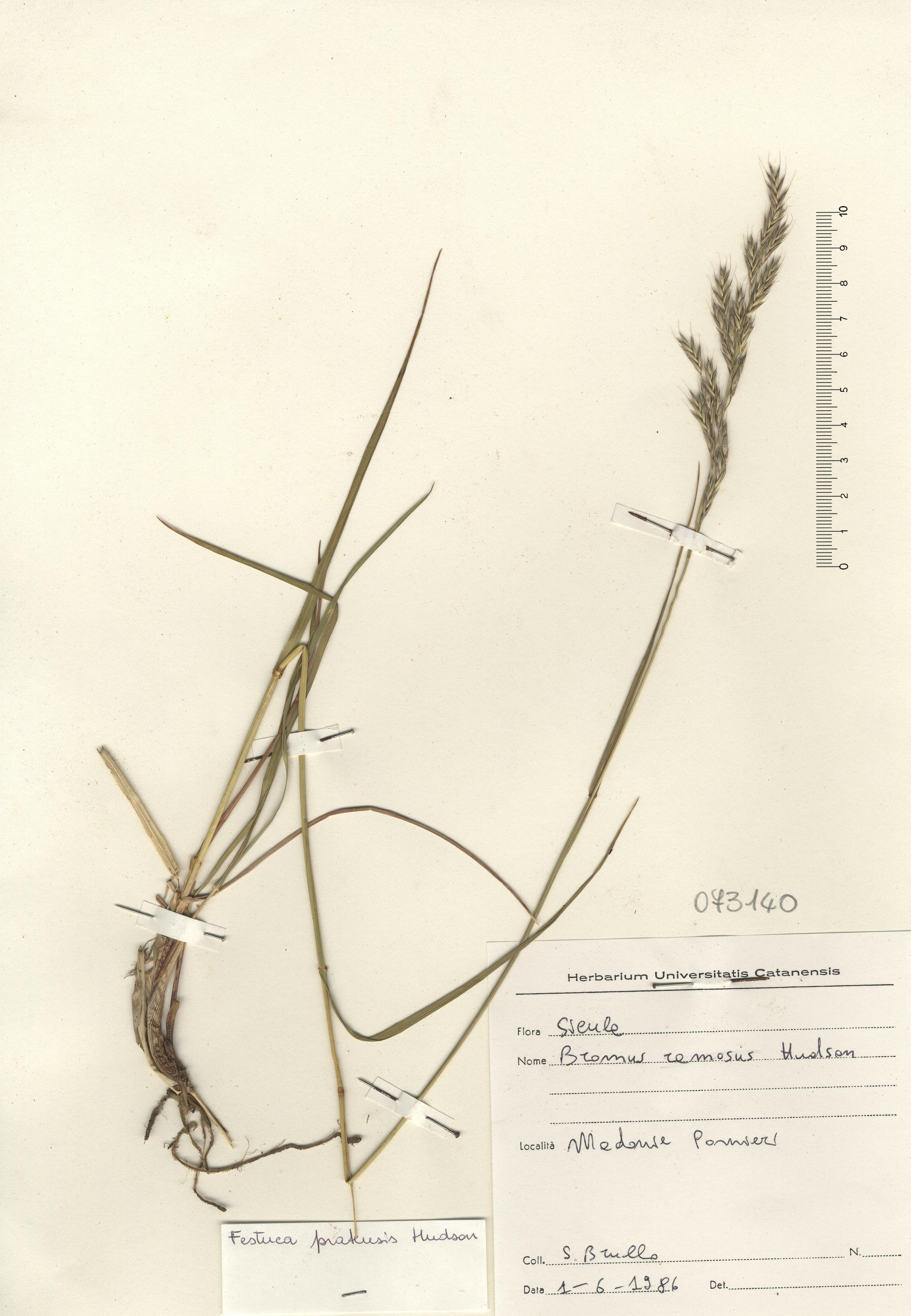&copy; Hortus Botanicus Catinensis - Herb. sheet  073140<br>