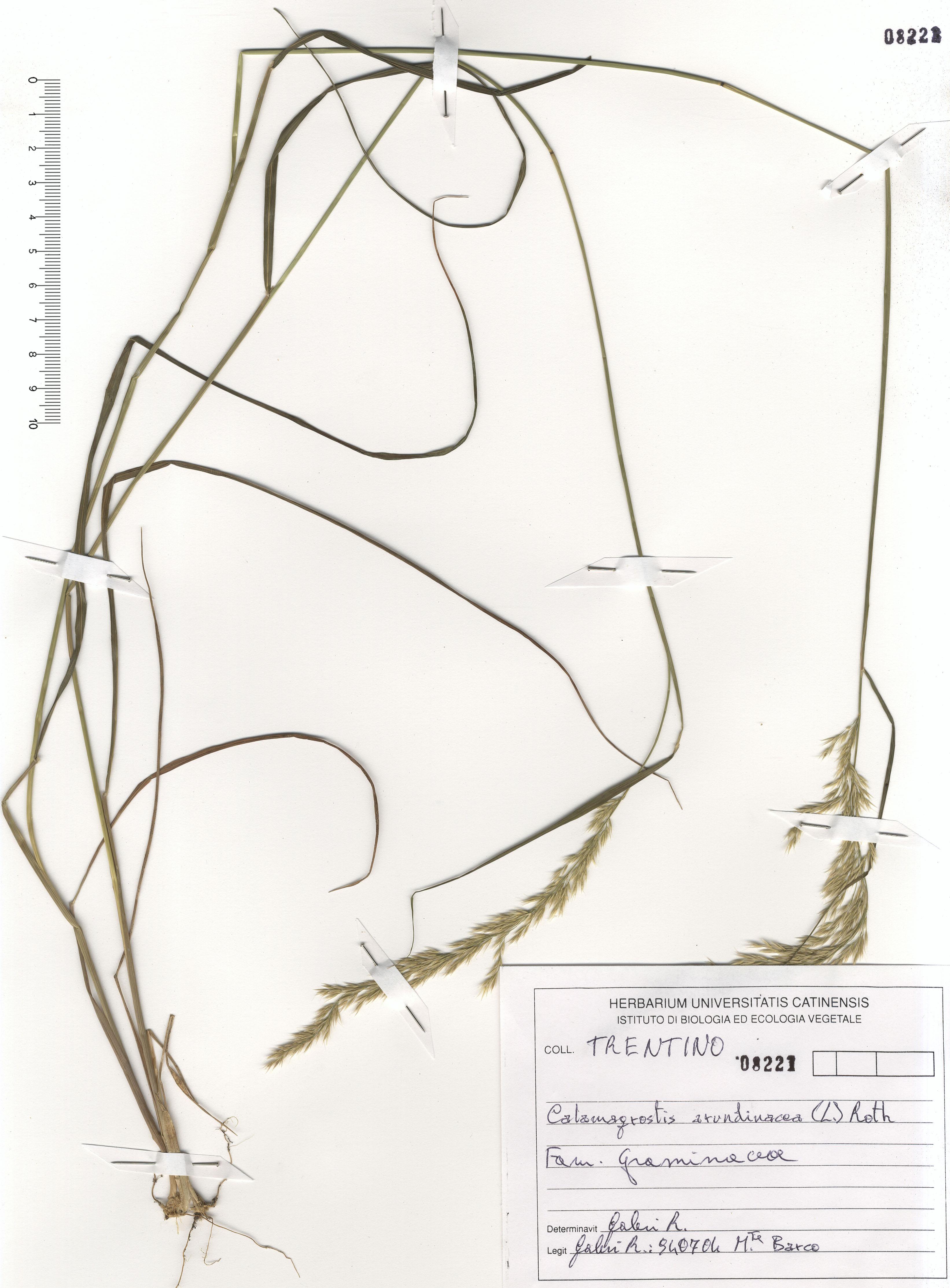© Hortus Botanicus Catinensis - Herb. sheet 1088221<br>