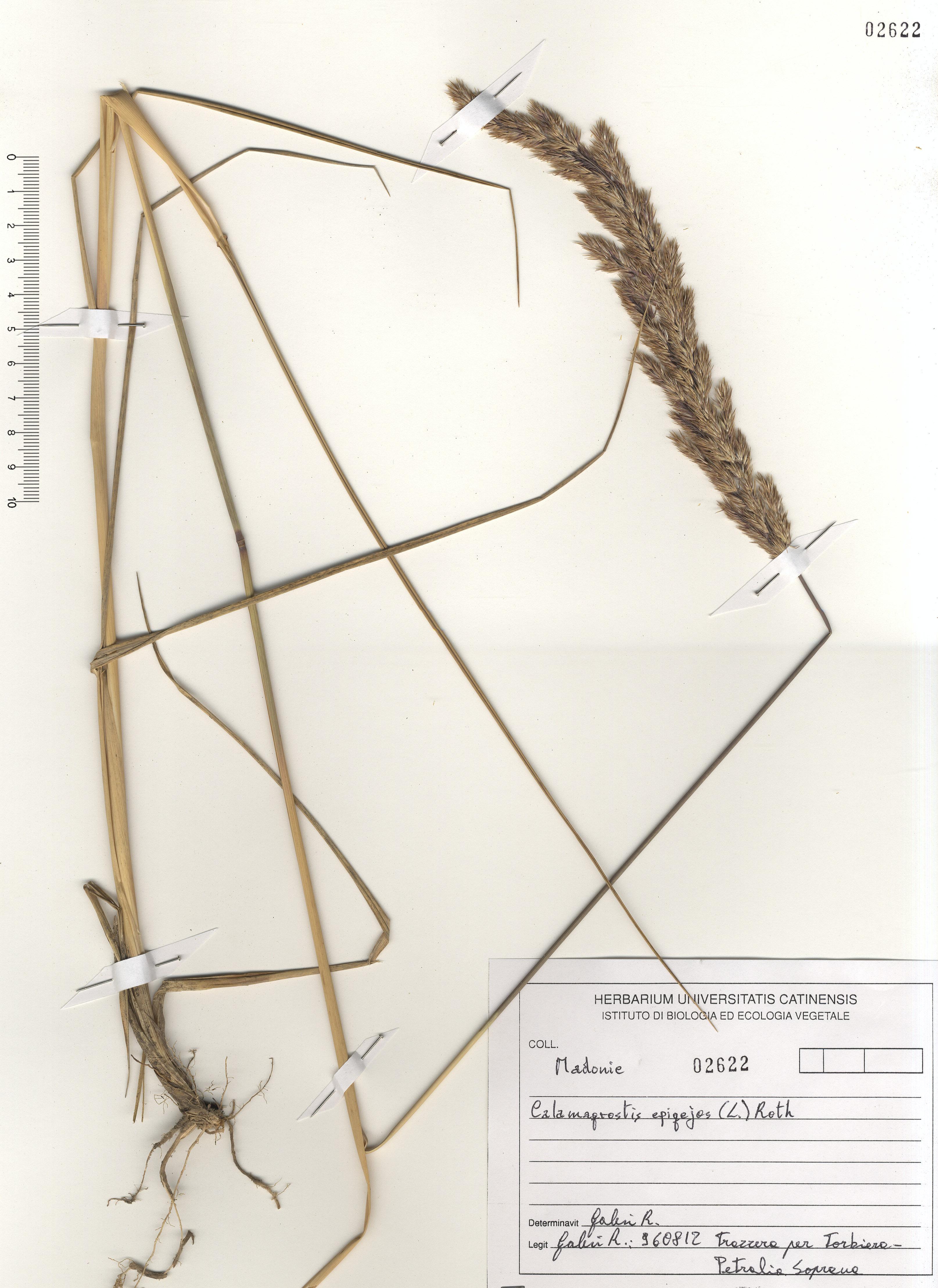 © Hortus Botanicus Catinensis - Herb. sheet 102622<br>
