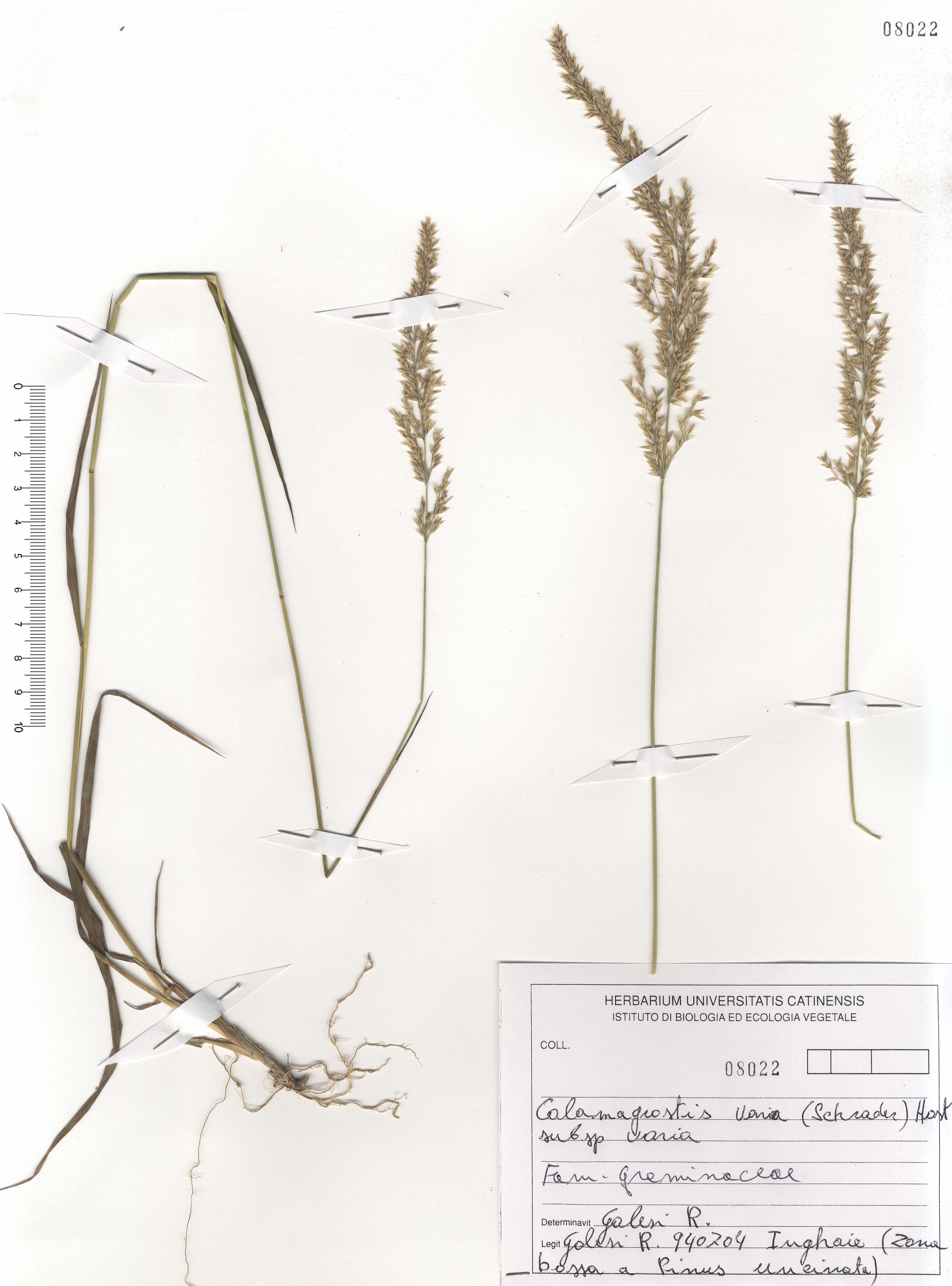 © Hortus Botanicus Catinensis - Herb. sheet 108022<br>