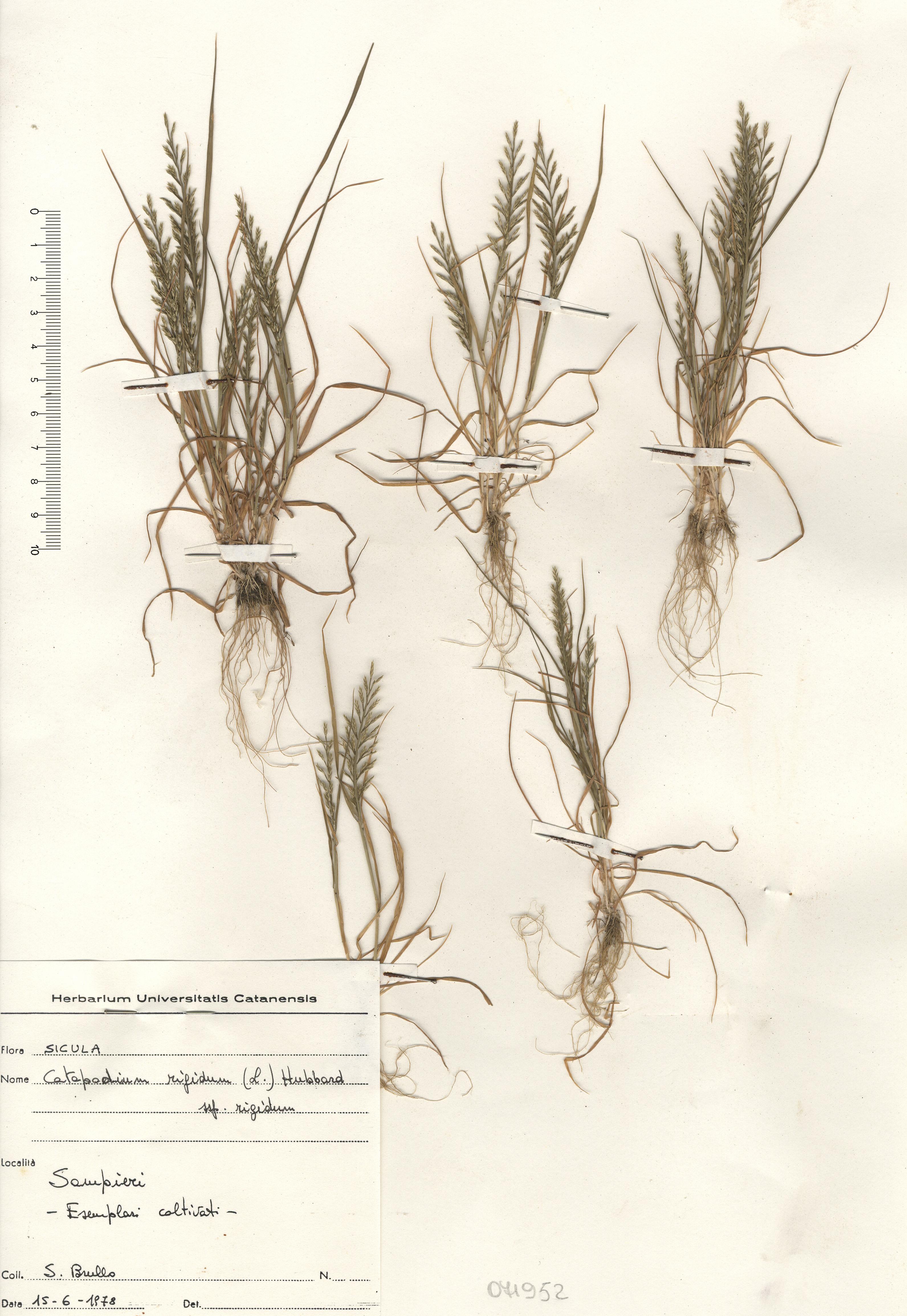 © Hortus Botanicus Catinensis - Herb. sheet 071952<br>