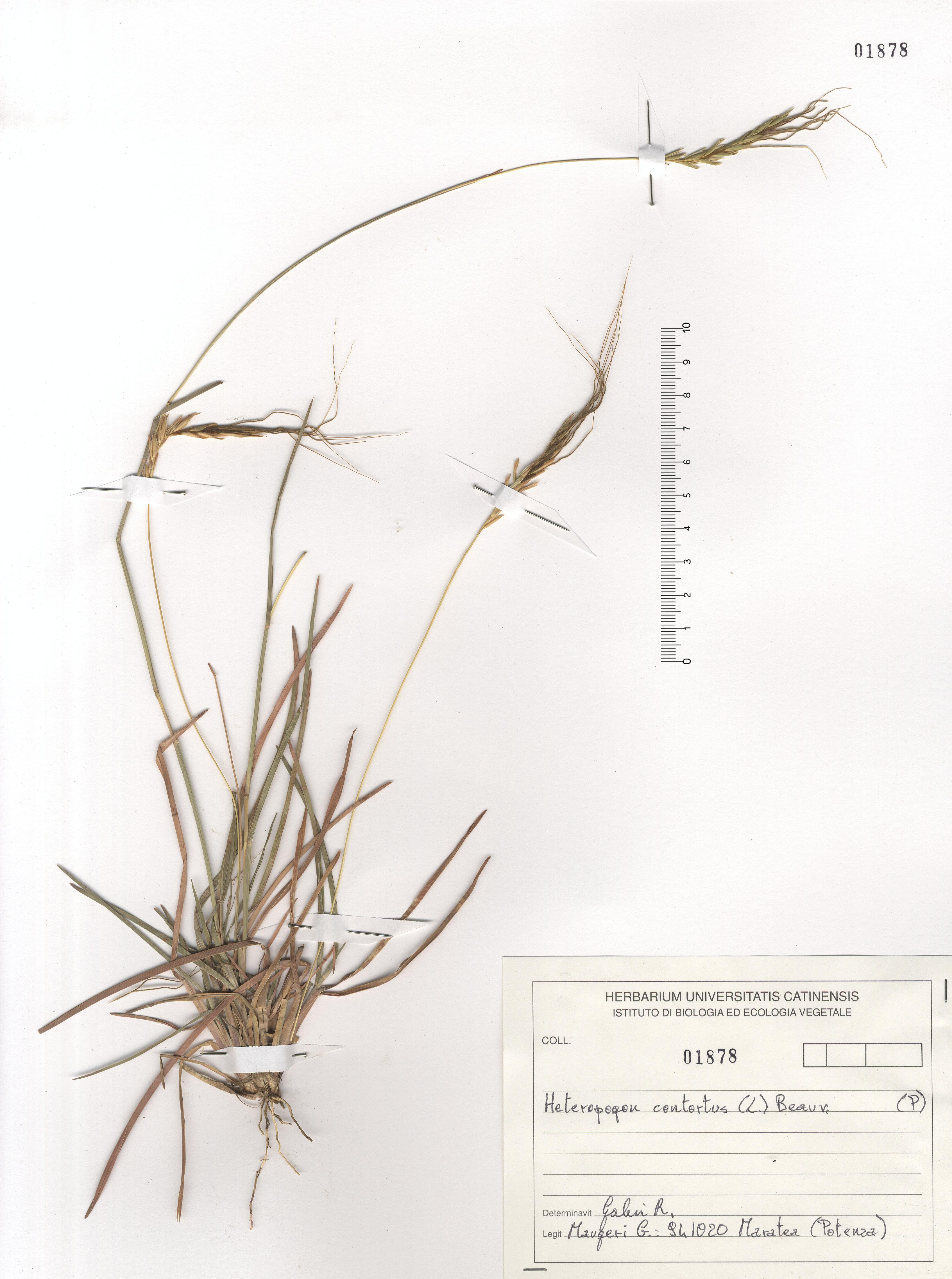 © Hortus Botanicus Catinensis - Herb. sheet 101878<br>