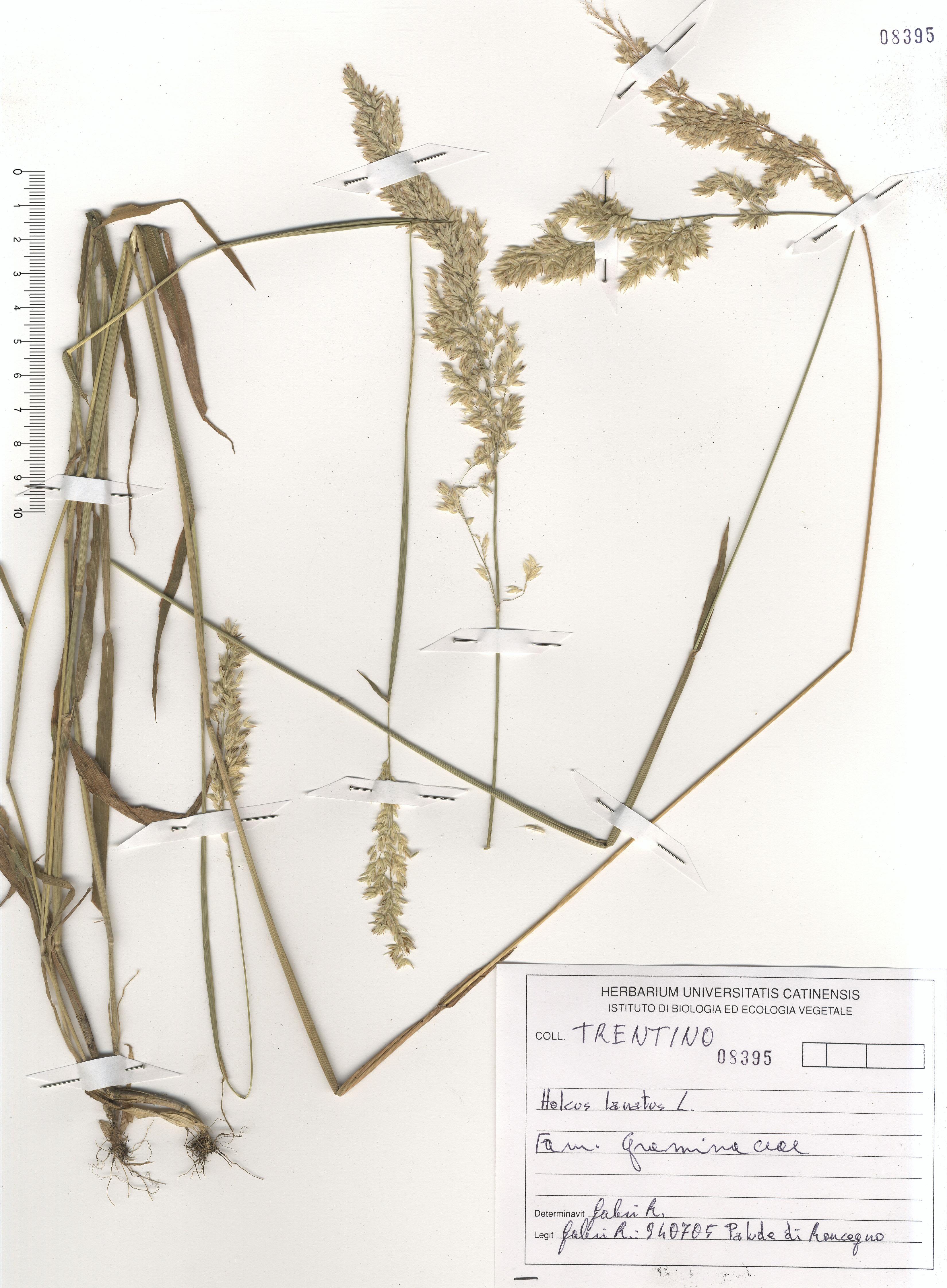 © Hortus Botanicus Catinensis - Herb. sheet 108395<br>