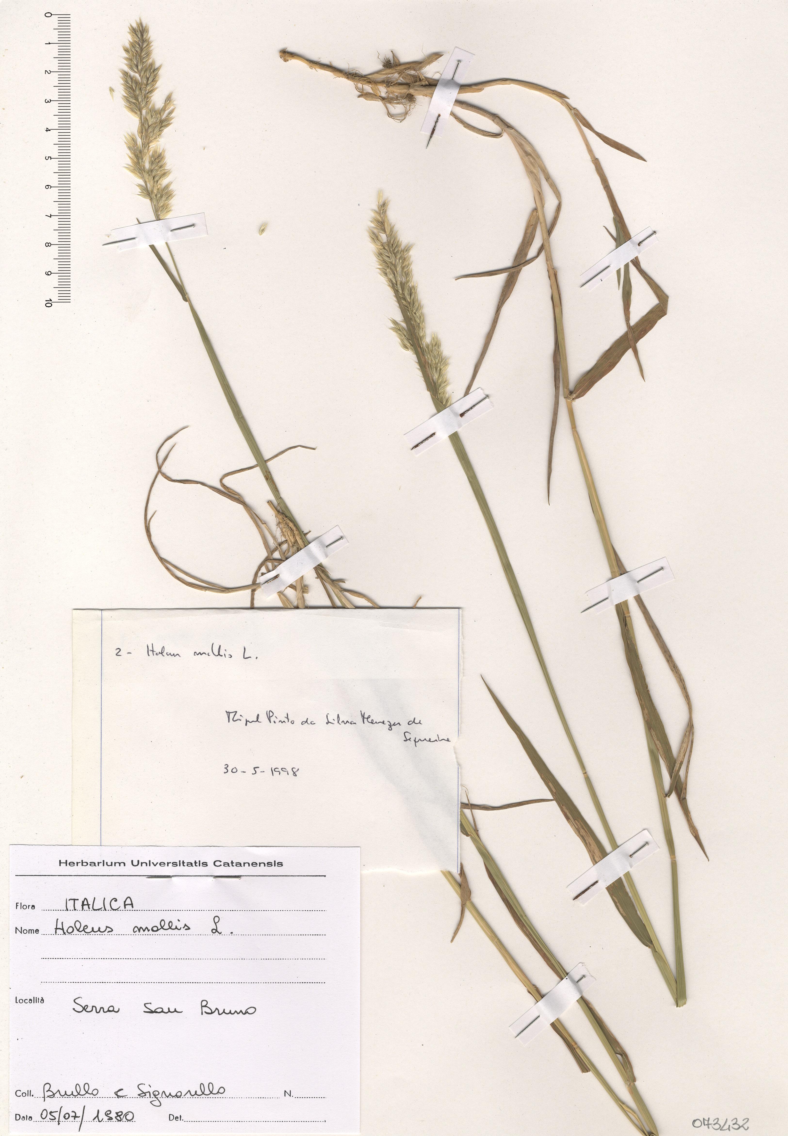 © Hortus Botanicus Catinensis - Herb. sheet 073432<br>