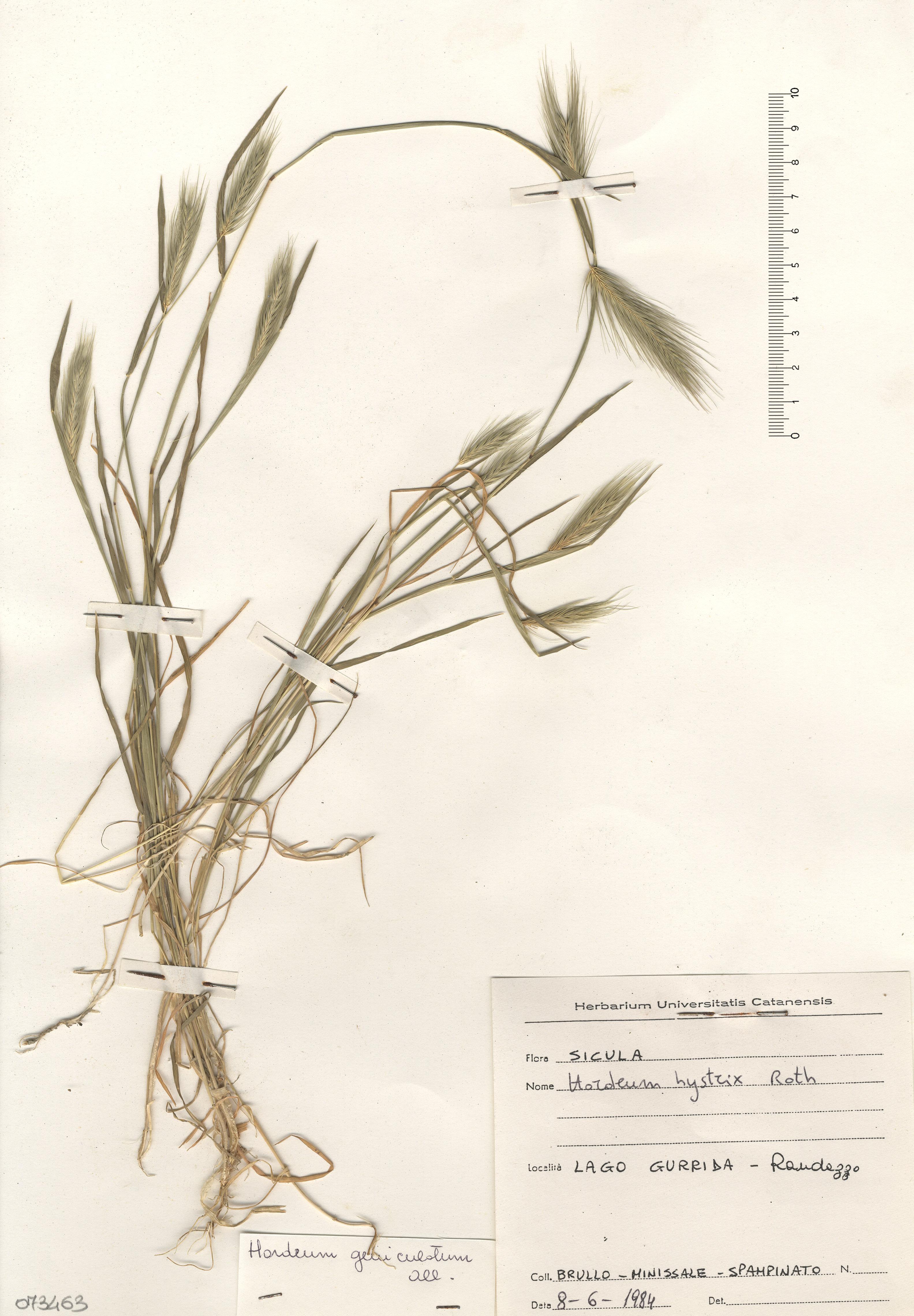 © Hortus Botanicus Catinensis - Herb. sheet 073463<br>
