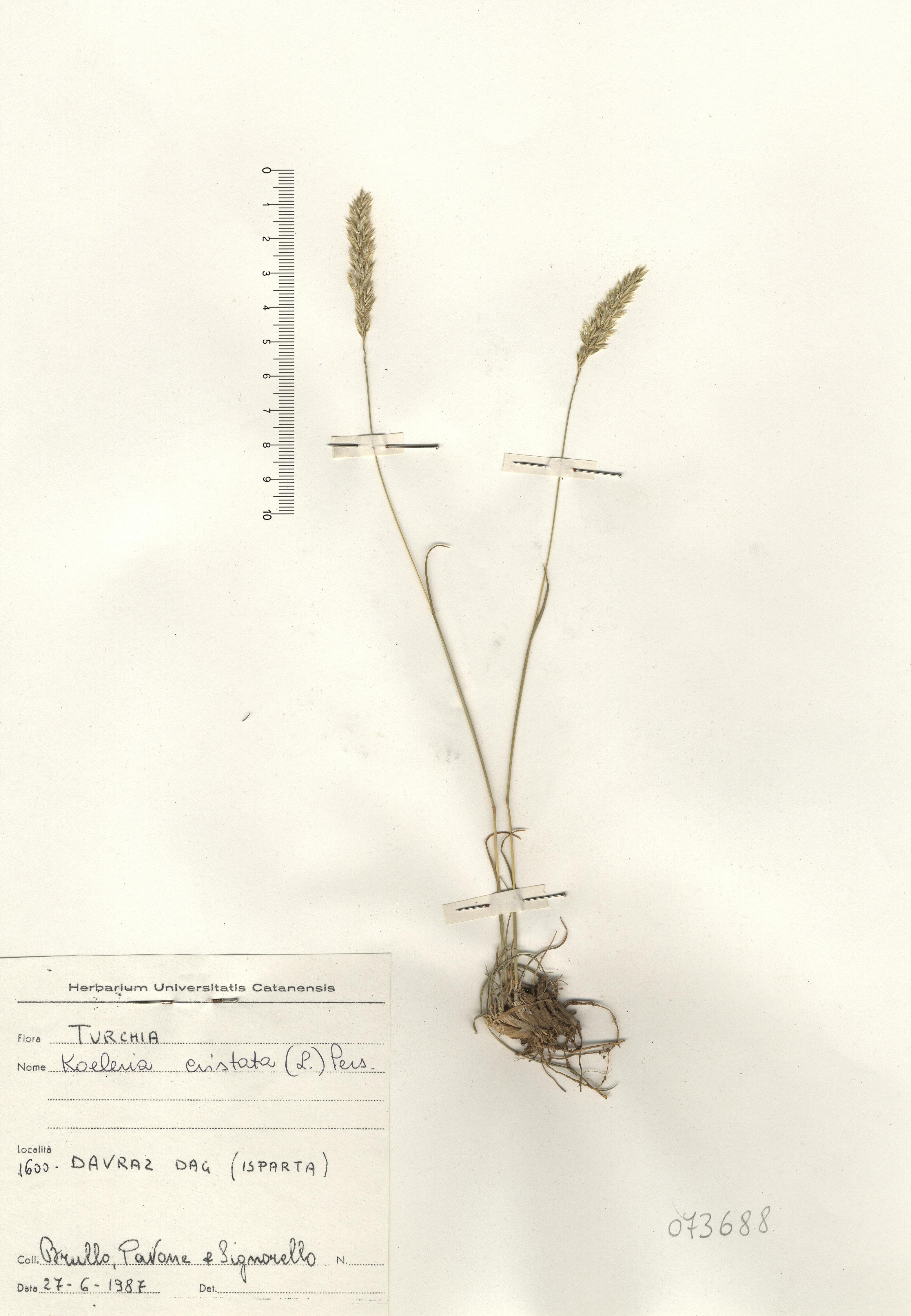 © Hortus Botanicus Catinensis - Herb. sheet 073688<br>