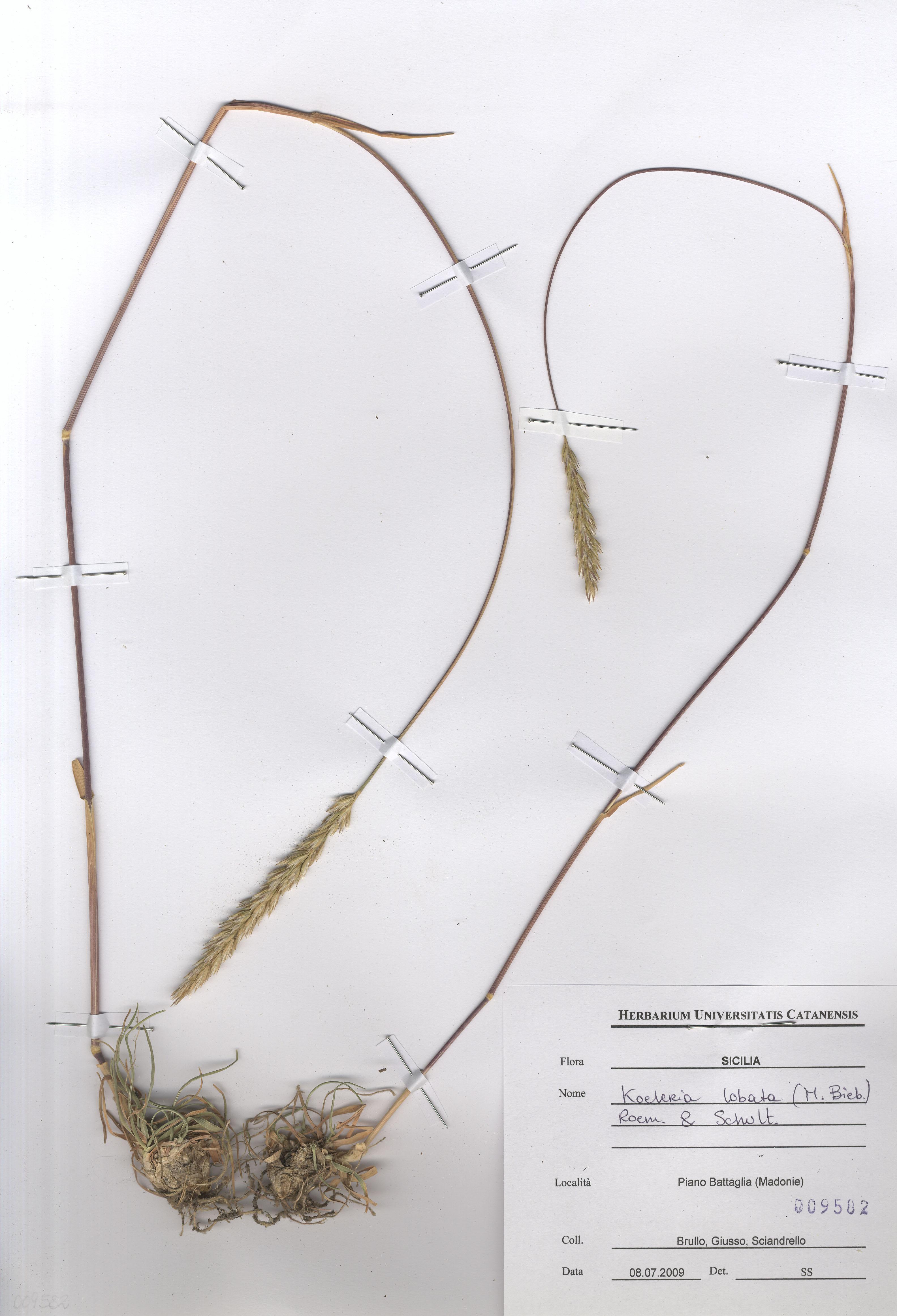 © Hortus Botanicus Catinensis - Herb. sheet 009582<br>