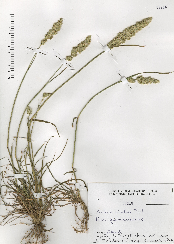 © Hortus Botanicus Catinensis - Herb. sheet 107216<br>