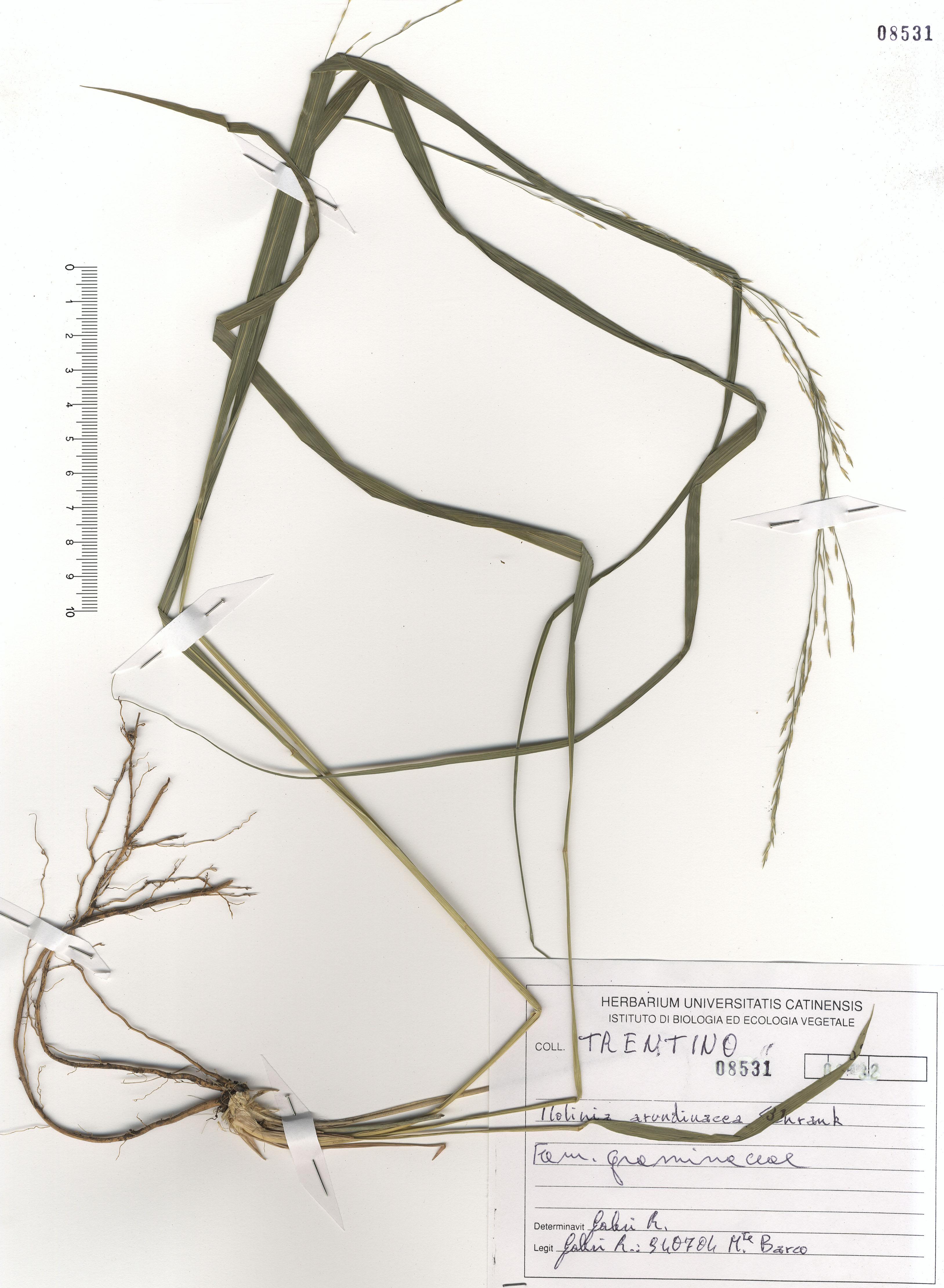 © Hortus Botanicus Catinensis - Herb. sheet 108531<br>